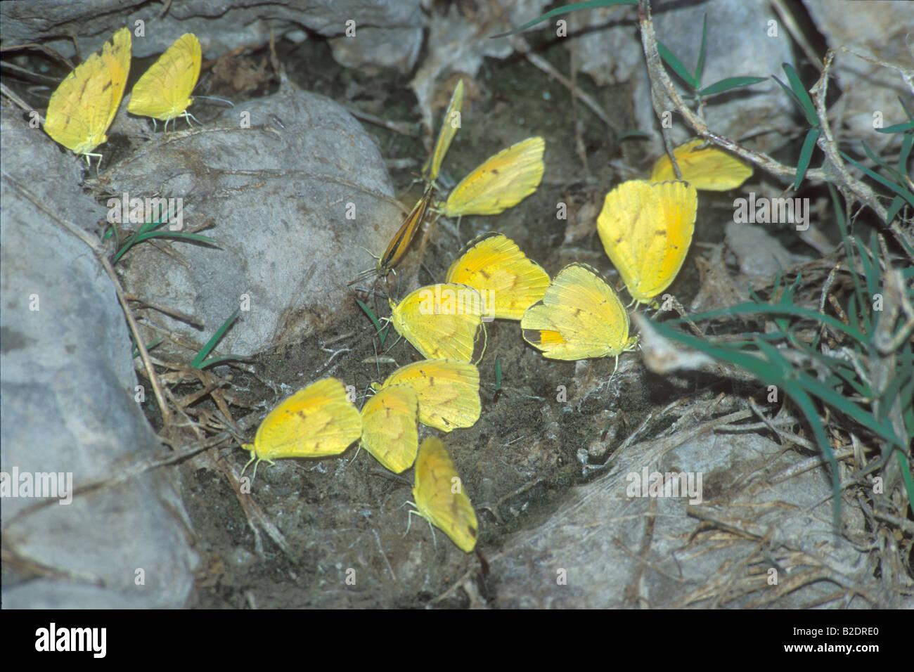 Farfalla farfalle nel deserto nel deserto pieridi abbeverata farfalle lepidotteri Nuovo Messico USA America Americhe Immagini Stock