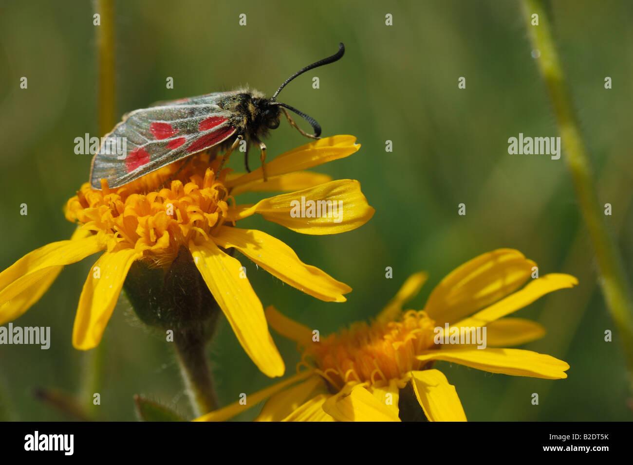 Farfalla insetto daisy montagne zigena su Arnica montana Zygaena trifolii Lepidotteri Eteroceri insetti montagna Immagini Stock
