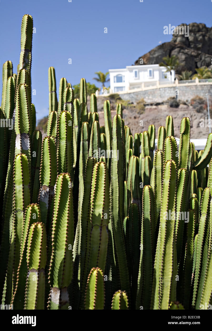 Euphorbia succulenta cactus con dipinti di bianco Casa Gran Canaria Spagna Immagini Stock