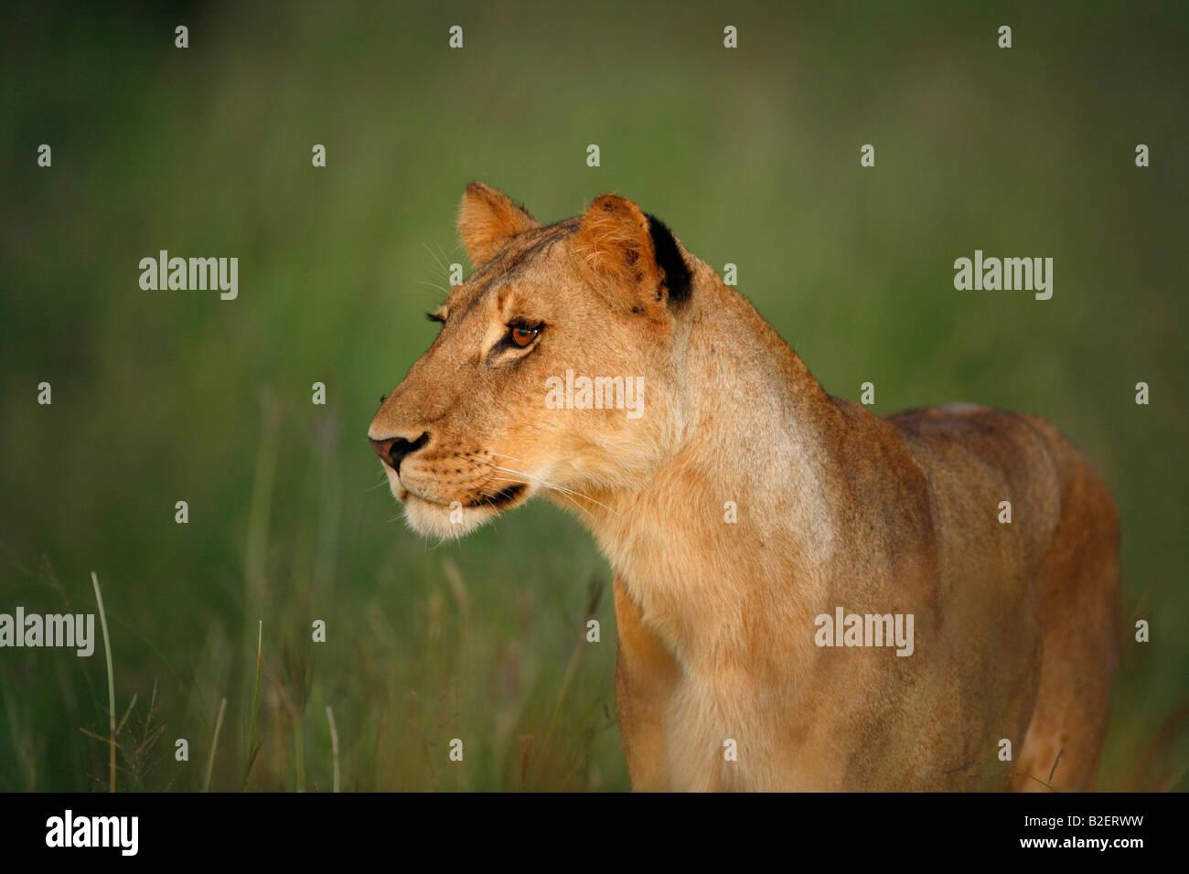Ritratto di una leonessa nella calda luce ambiente Immagini Stock