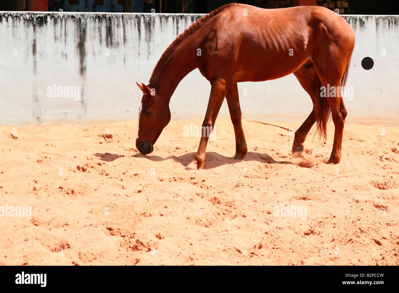 Cavallo in una scuola di equitazione Immagini Stock