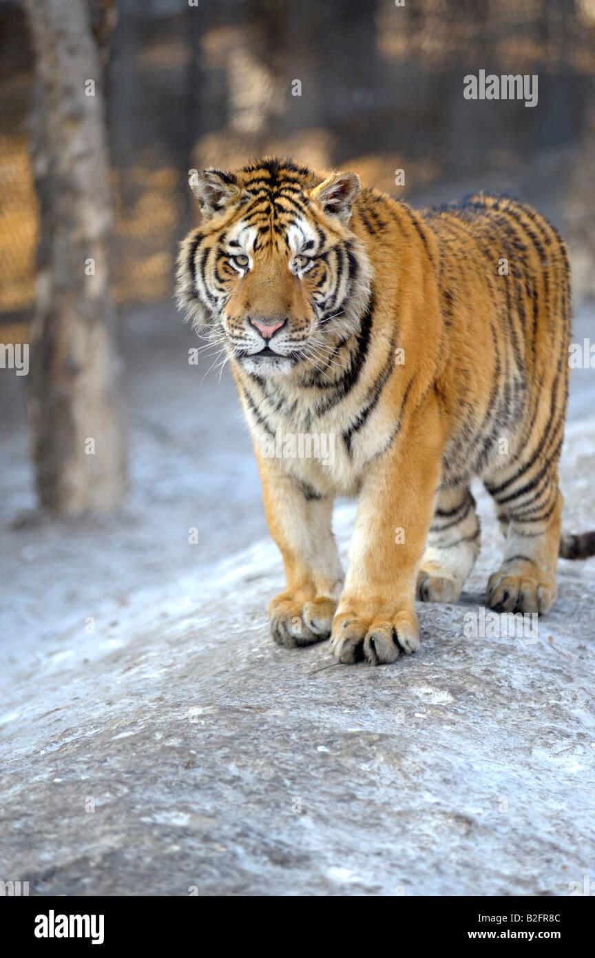 Tigre Siberiana presso il Parco della Tigre Siberiana, Harbin, Provincia di Heilongjiang, Cina Immagini Stock
