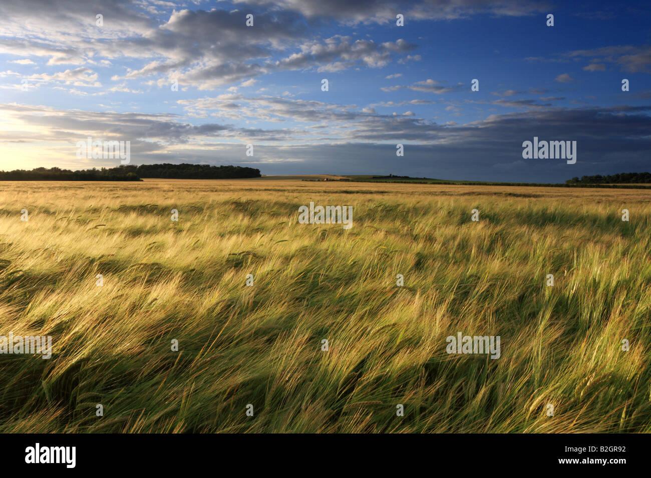 Campo di orzo e di tramonto guardando verso Wandlebury, Cambridge. Immagini Stock