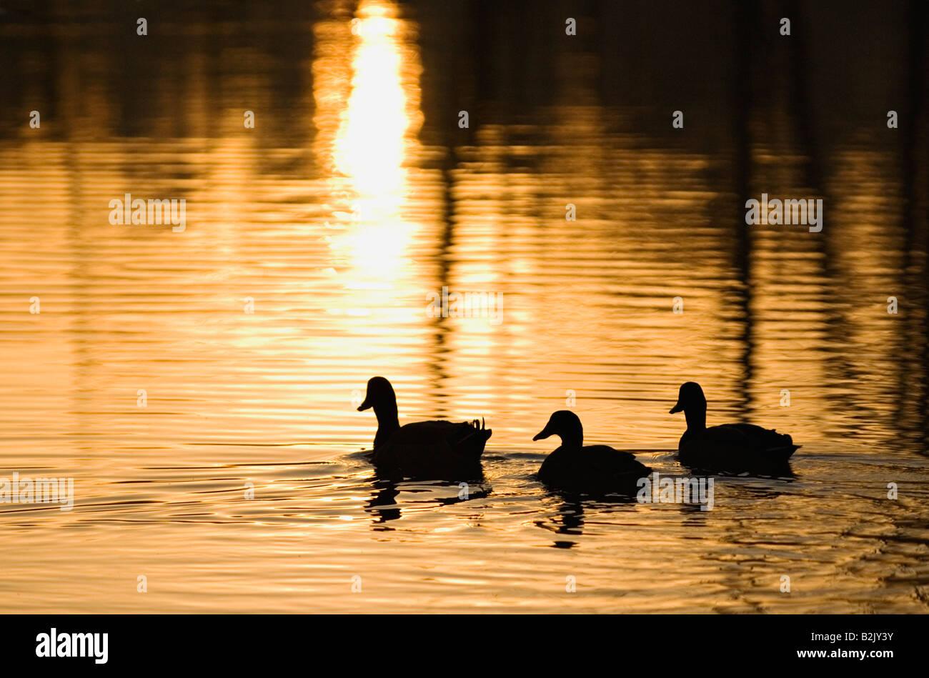 Silhouette di tre le anatre bastarde Swiiming sul laghetto di Sunrise Webster County Kentucky Immagini Stock