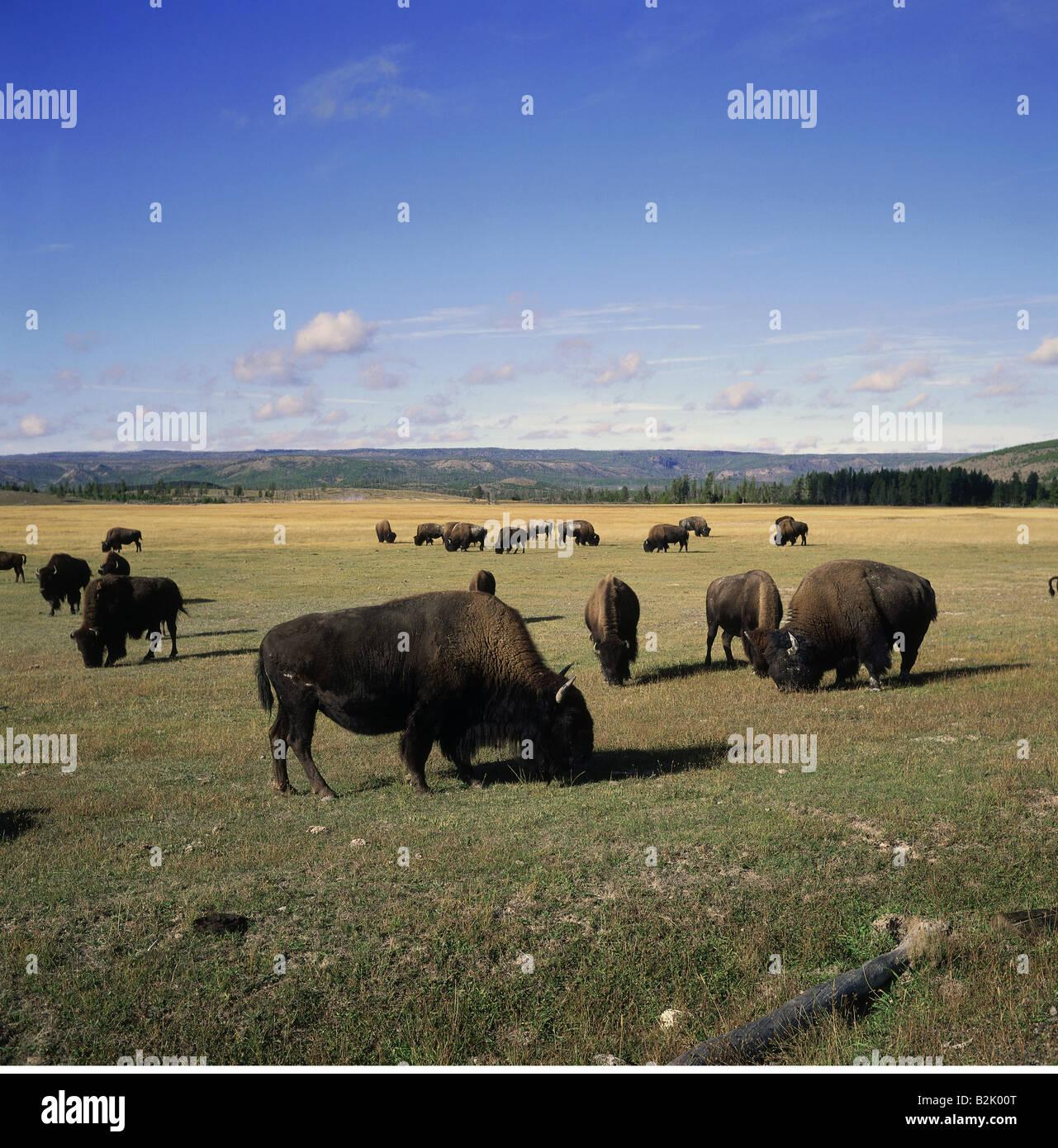 Geografia / viaggi, USA, Wyoming, paesaggi, il Parco Nazionale di Yellowstone, navigazione bufale, , Additional Immagini Stock