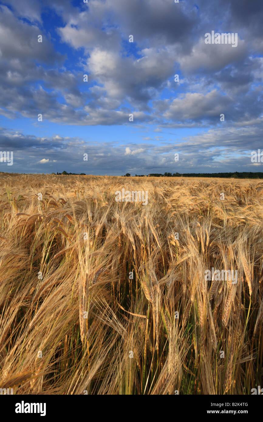 """""""Campo di orzo' campi nel sud di Cambridge. Immagini Stock"""