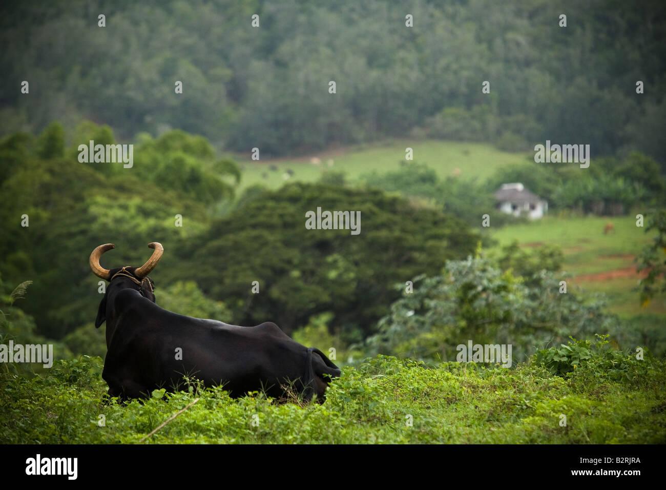 Bull giacente in un campo nei pressi di Vinales, Cuba Immagini Stock