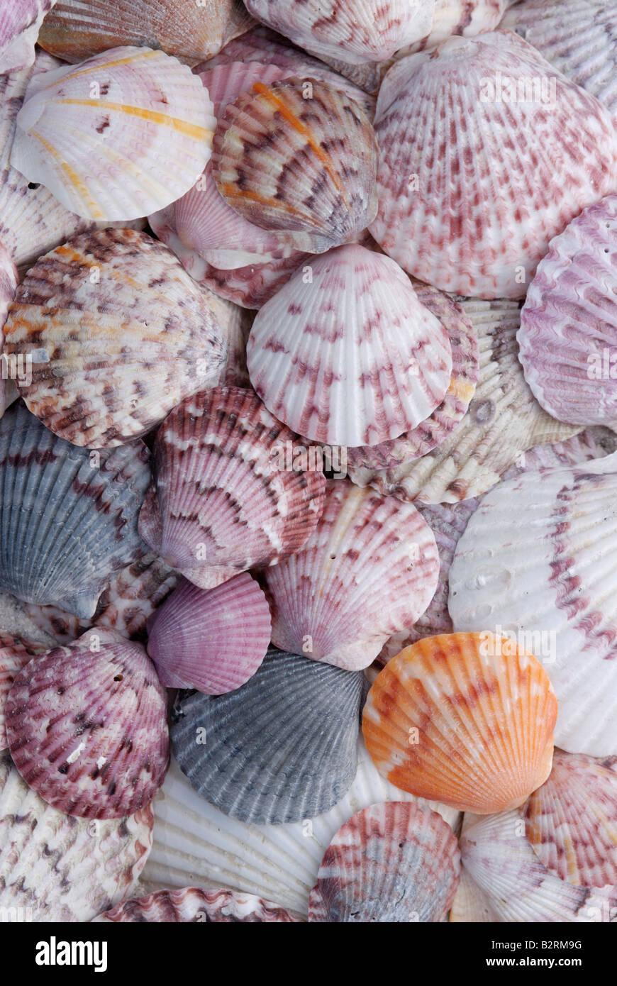 Una varietà di Atlantic calico smerlo Argopecten gibbus gusci che mostra polimorfismo tremenda Immagini Stock