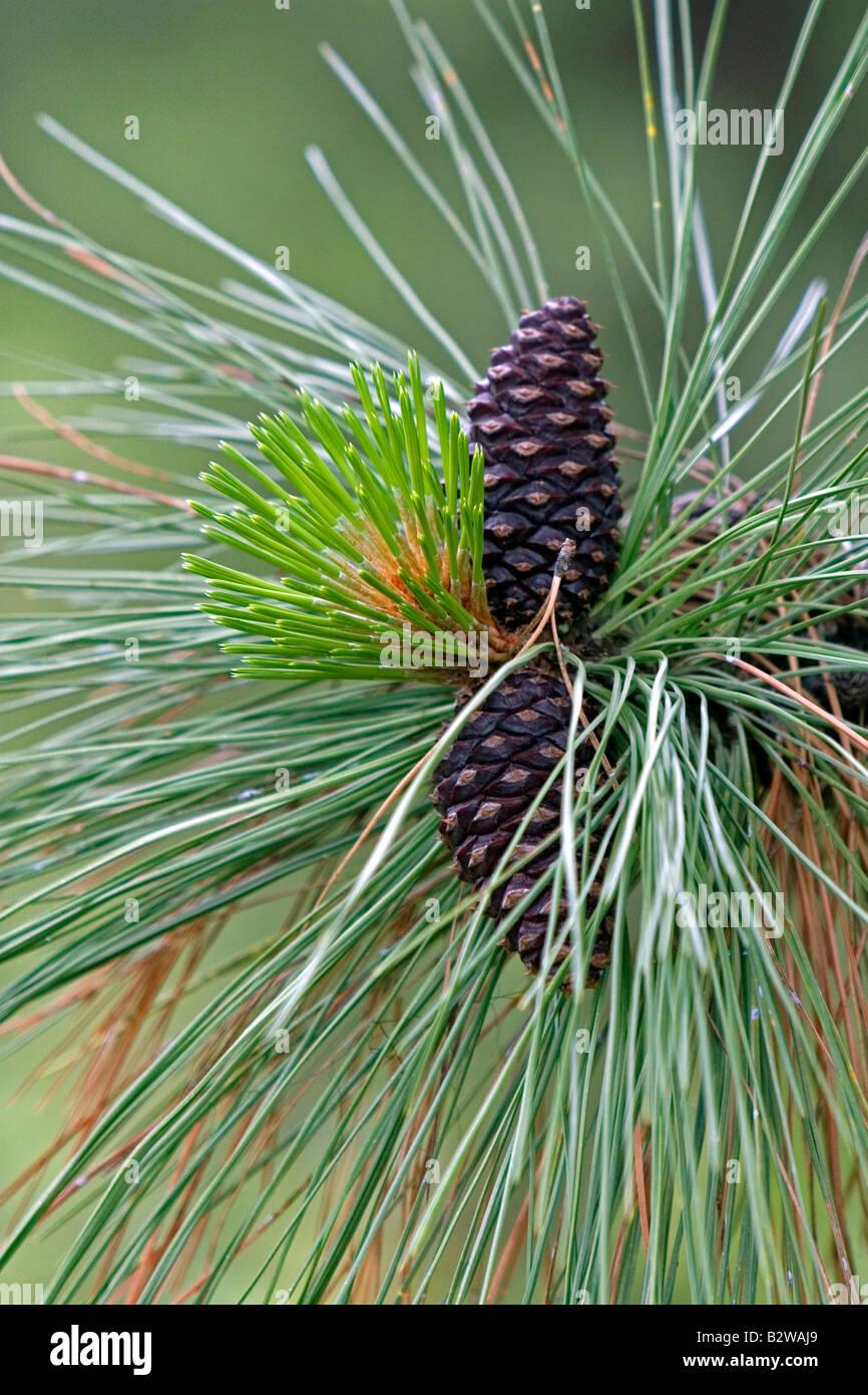 Pigne nelle quali e nuova crescita su una Ponderosa Pine Tree in Clearwater County Idaho Immagini Stock