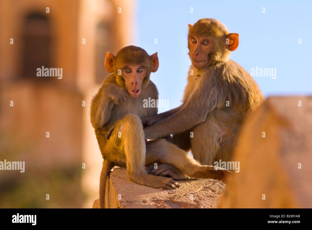 Le scimmie a Tiger Fort, città di Jaipur, Rajasthan, India, subcontinente, Asia Immagini Stock