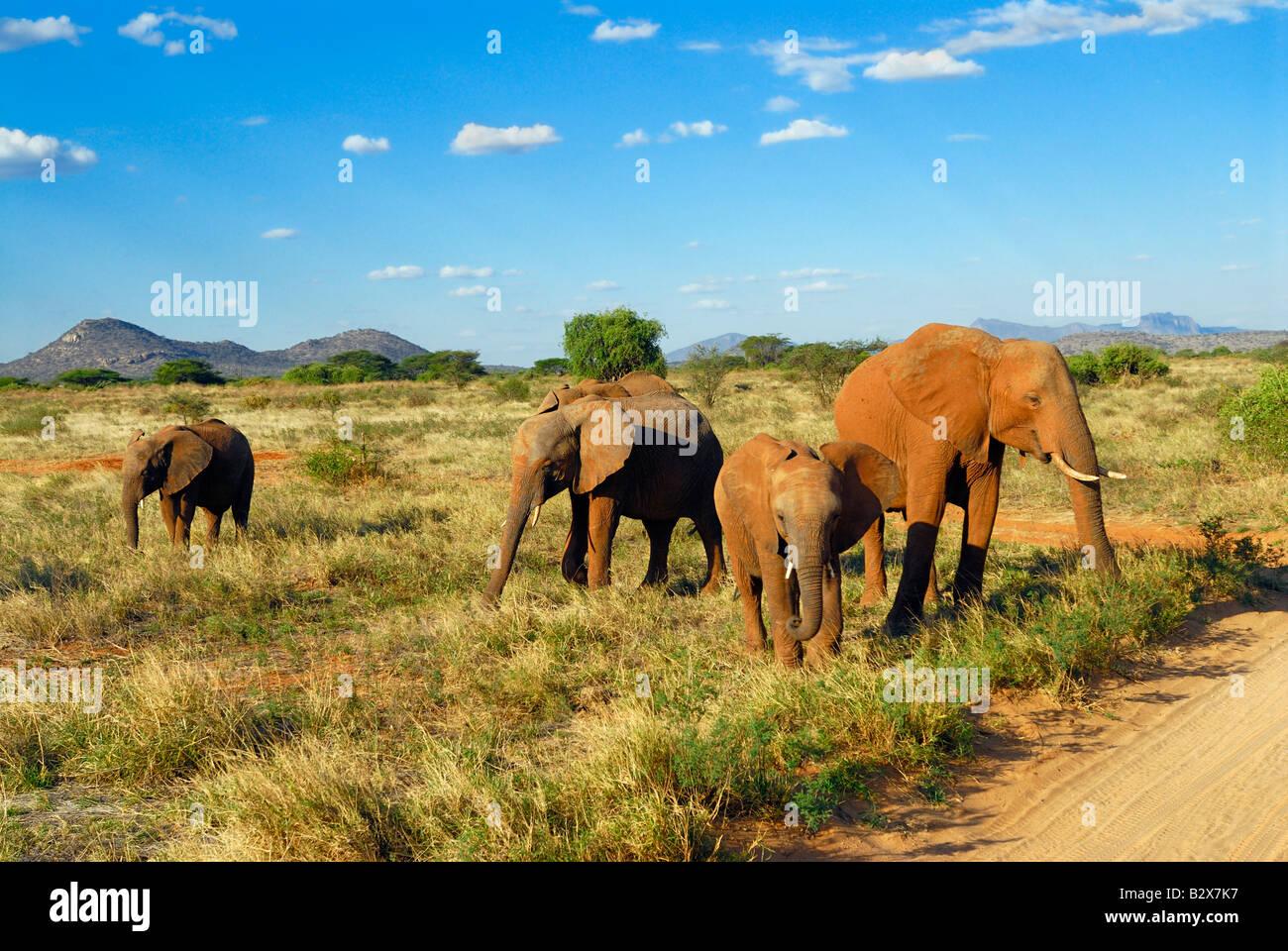Allevamento di elefante africano Loxodonta africana SAMBURU NATIONAL PARK KENYA Africa Immagini Stock