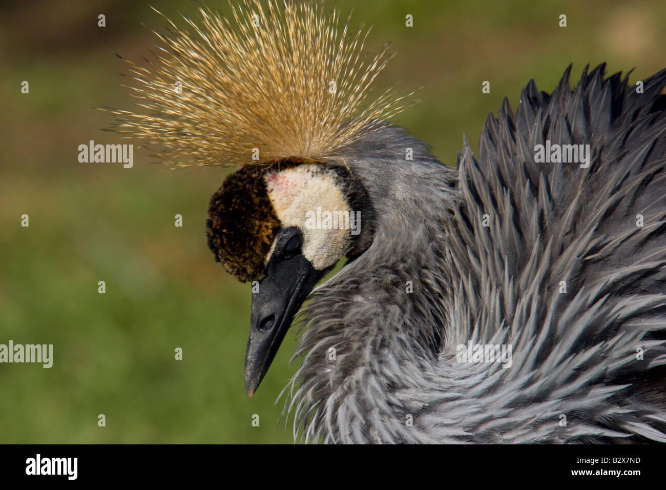 Crested crane africa Uganda uccello di stato Immagini Stock