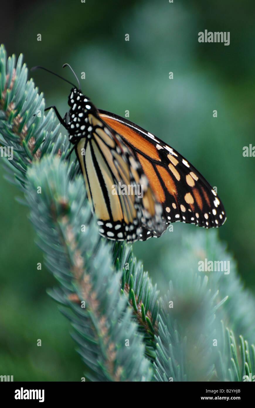 Farfalla monarca (Danaus plexippus) Immagini Stock