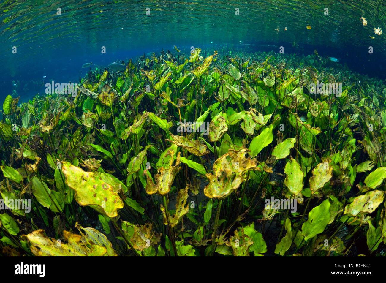 Il sottobosco ricco di foglie di piantaggine acqua Echinodorus macrophyllus fotografato in una molla nel Mato Grosso Immagini Stock