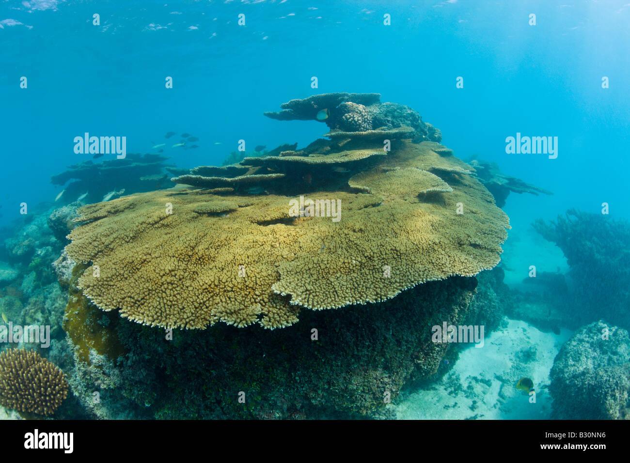 Tabella dei coralli in Bikini Lagoon Isole Marshall Bikini Atoll Micronesia Oceano Pacifico Immagini Stock