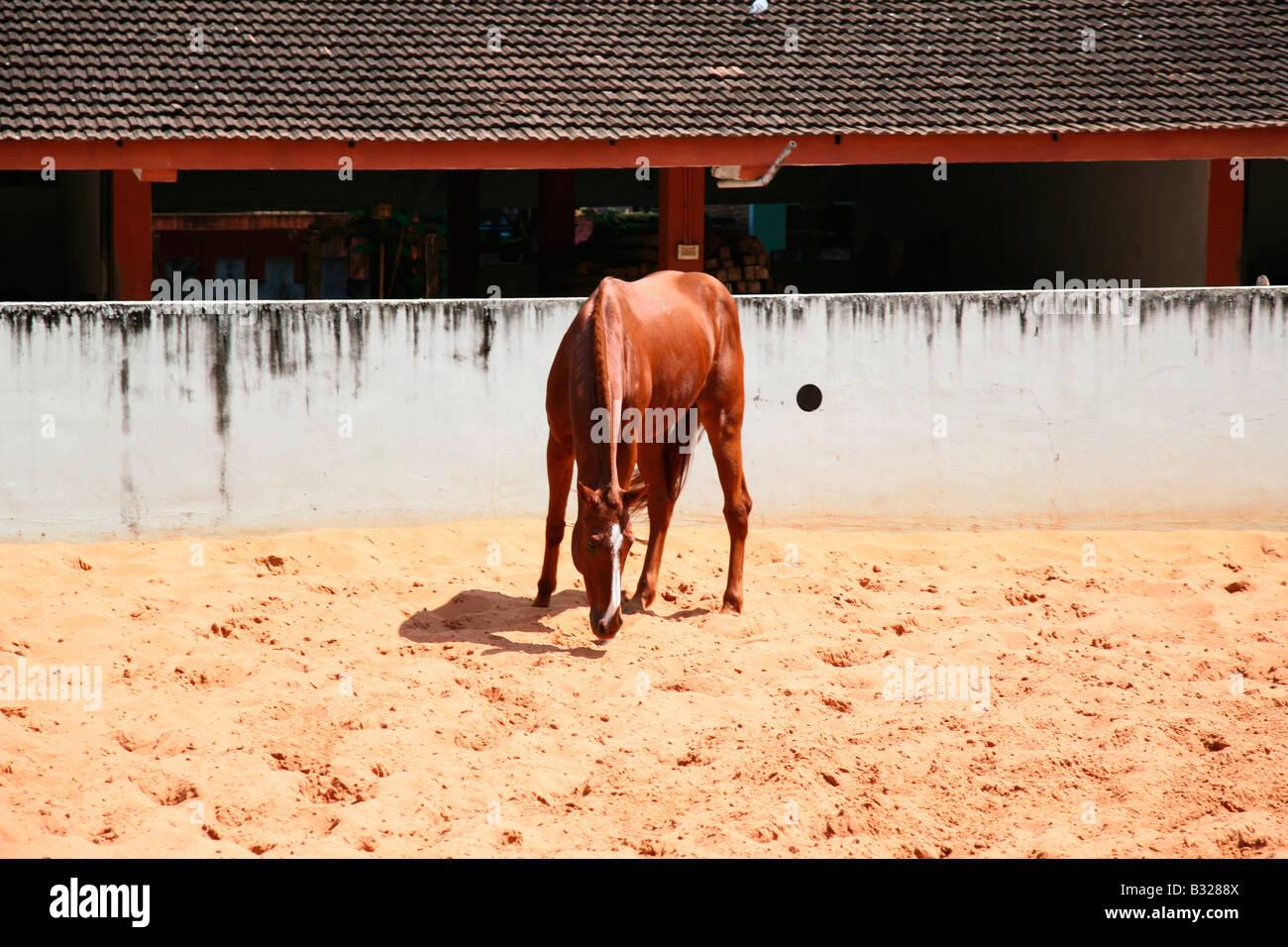 Un cavallo in una scuola di equitazione,l'india Immagini Stock