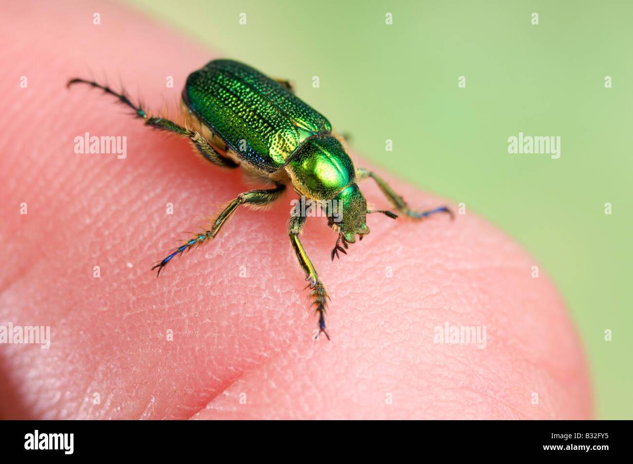 Australian verde scarabeo scarabeo sul dito umano Foto Stock