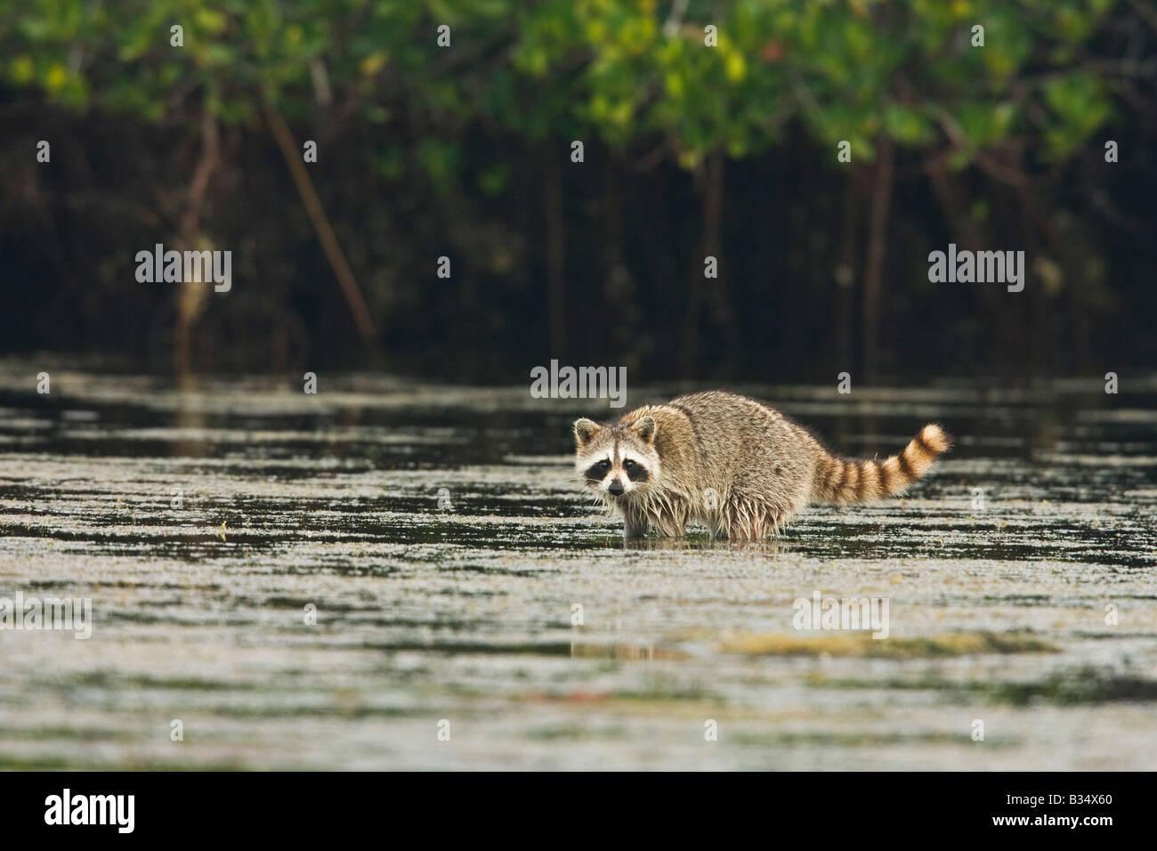 Raccoon (Procione lotor) rovistando tra gli alberi di mangrovia Immagini Stock