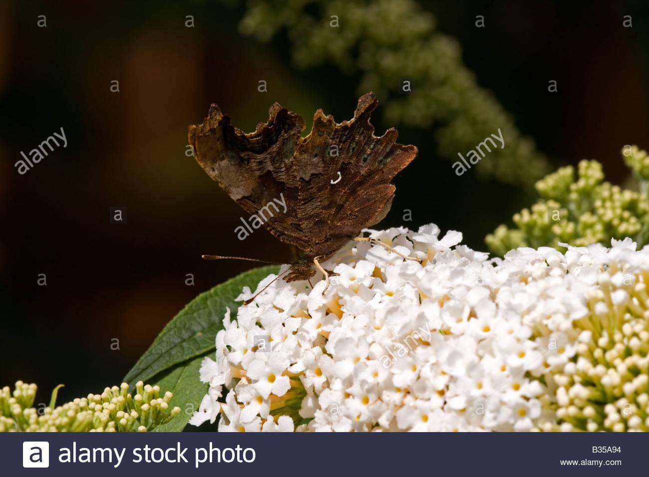 Virgola butterfly con ante chiuse Immagini Stock