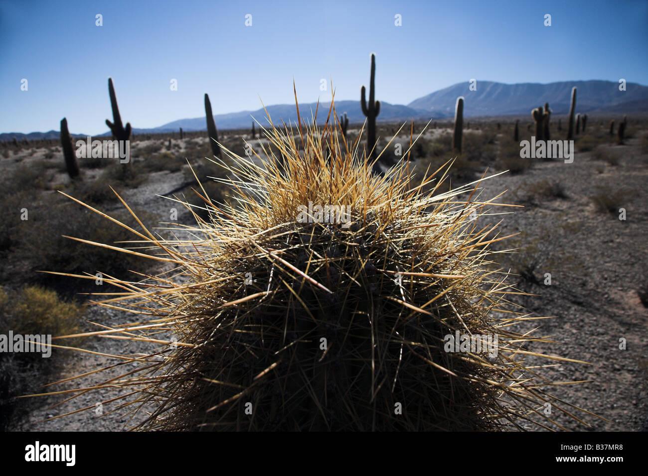 Cactus nel Parque Nacionale de Cardones a Salta Arentina settentrionale. Immagini Stock