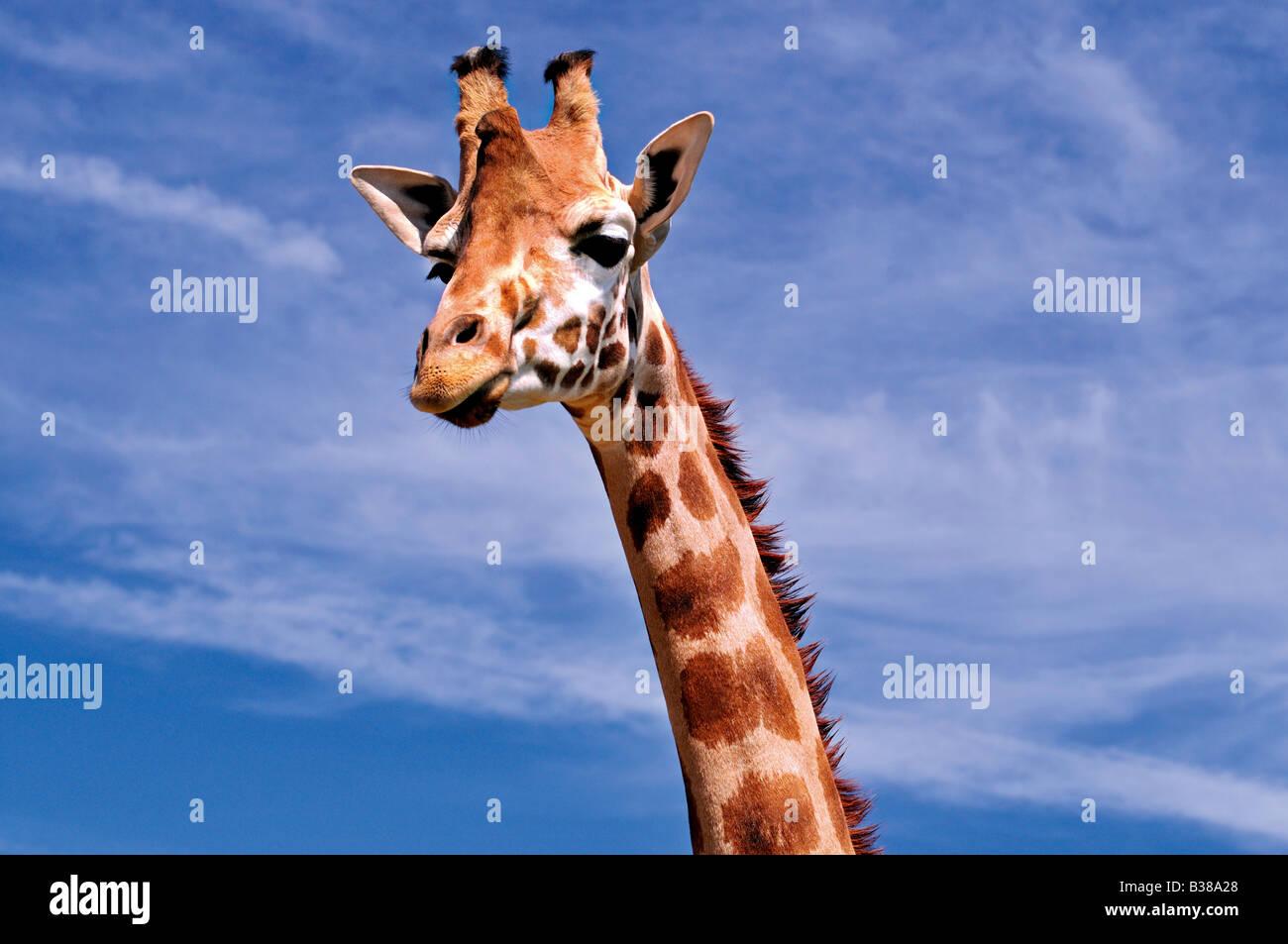 La giraffa in posa il parco animale Carbacena in Cantabria, SPAGNA Immagini Stock