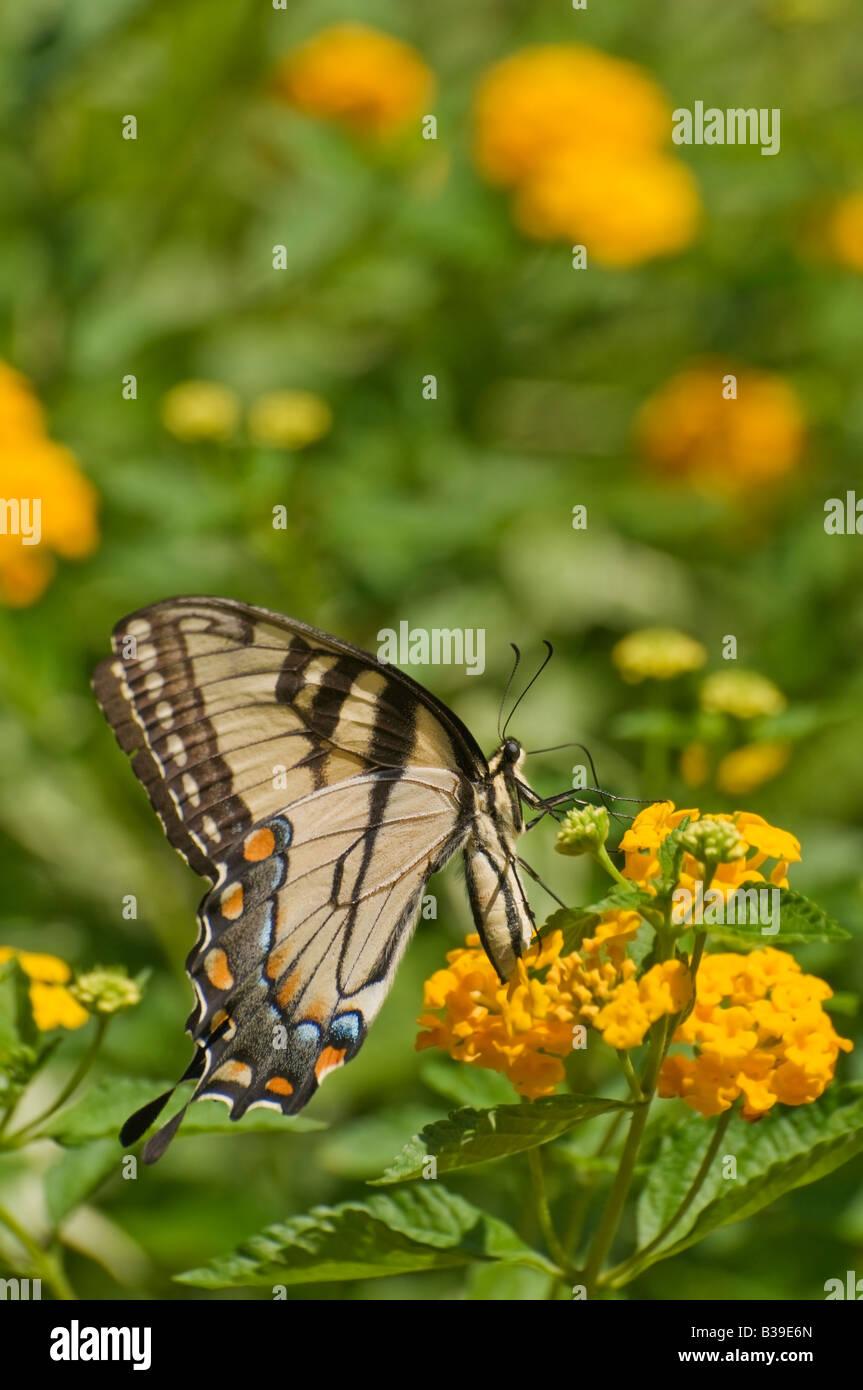 Foto di una tigre di Pasqua a farfalla a coda di rondine Foto Stock
