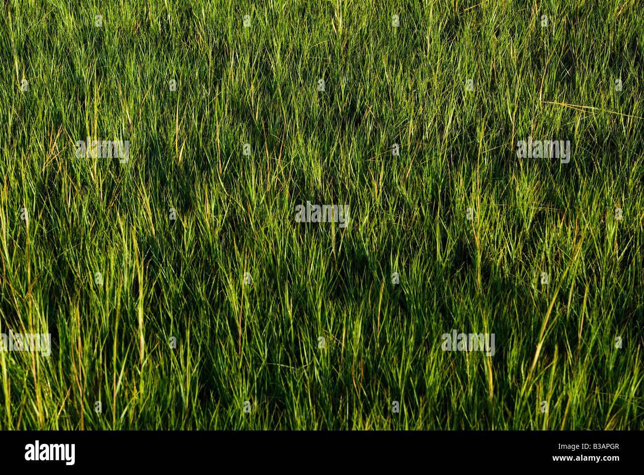 La Palude Salata erba. Immagini Stock