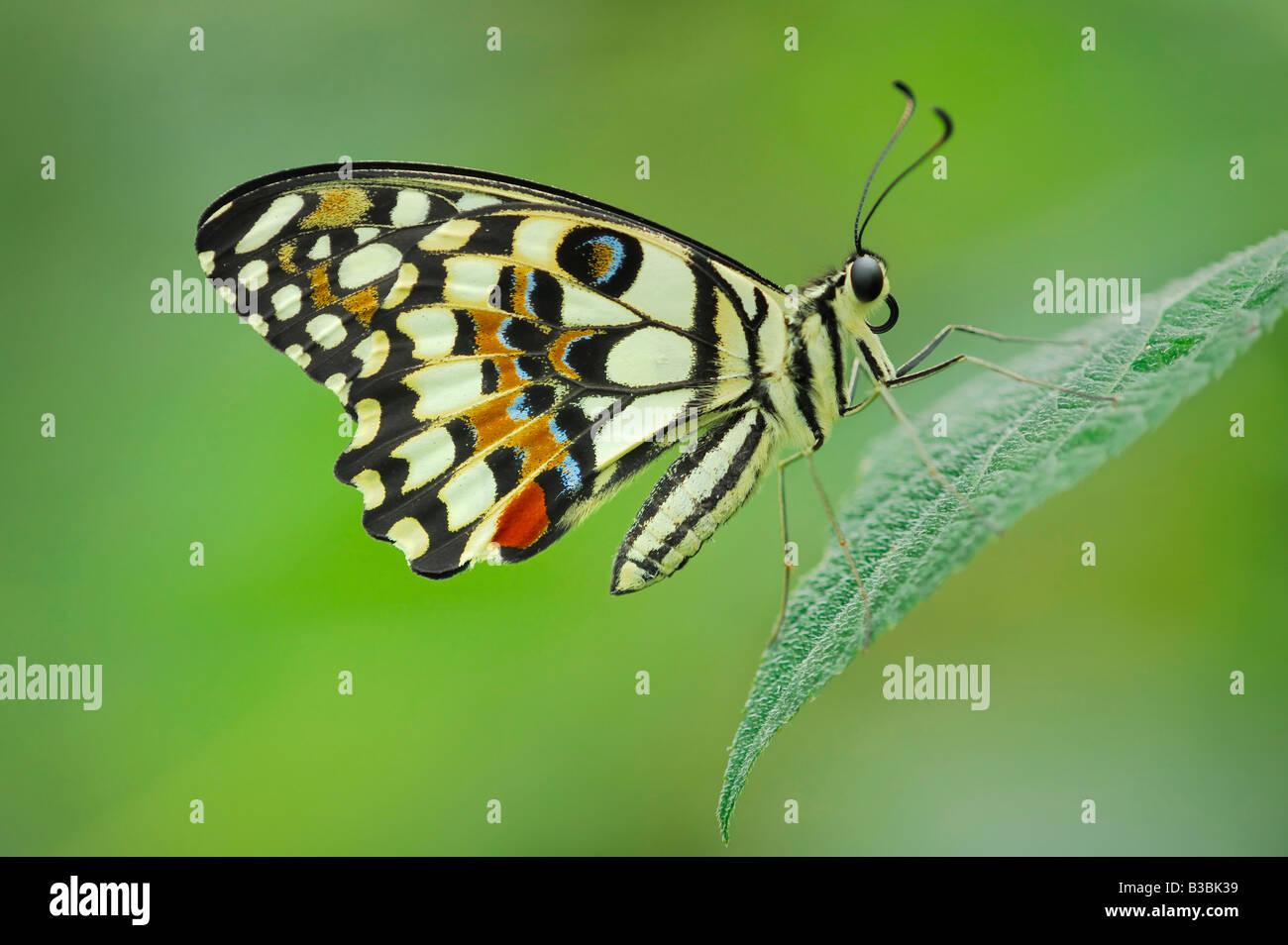 Limone Butterfly Papilio demoleus adulto appollaiato sulla lamina captive Immagini Stock