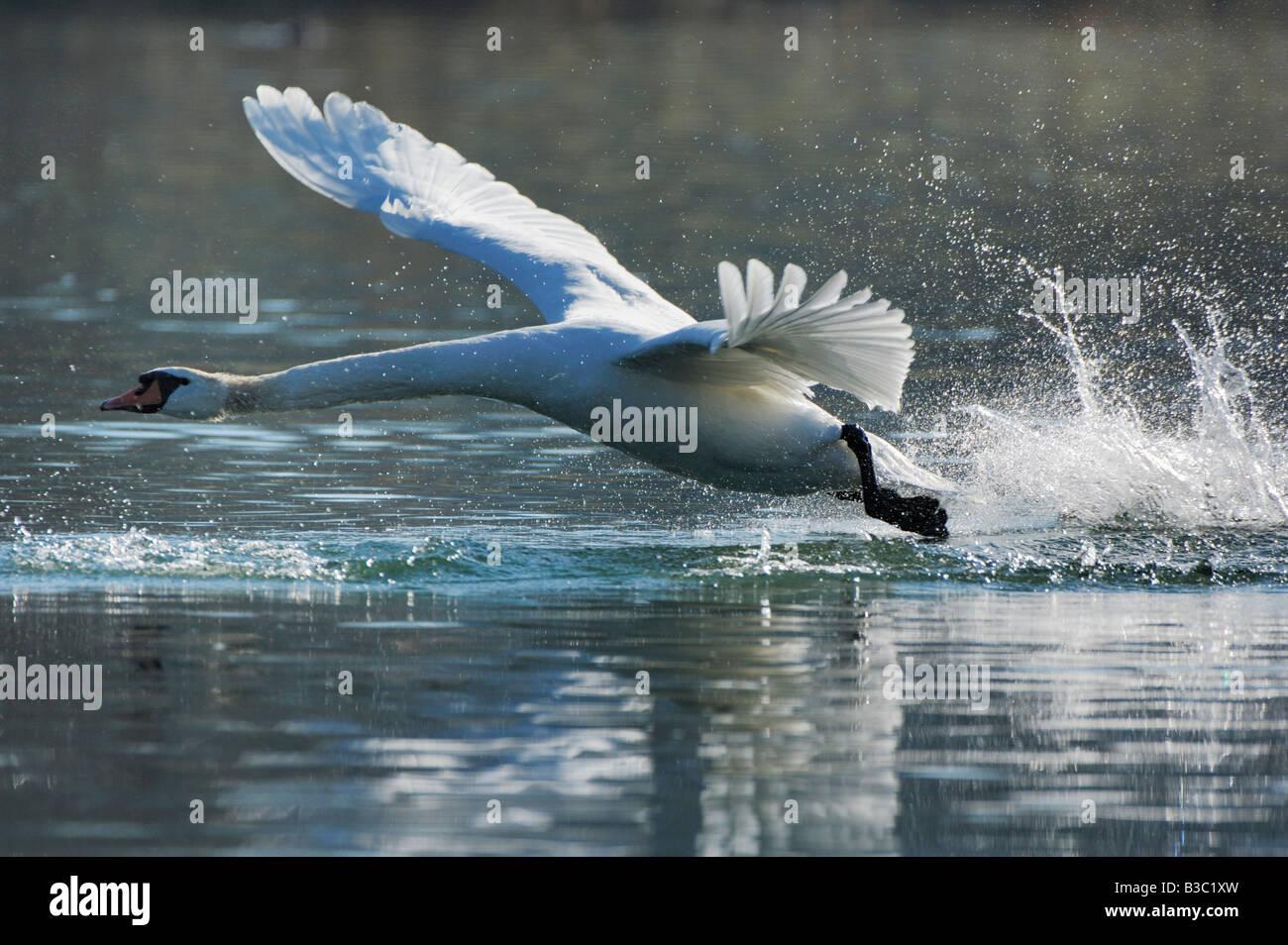 Cigno Cygnus olor adulto prendendo il largo Lago di Zugo svizzera Immagini Stock