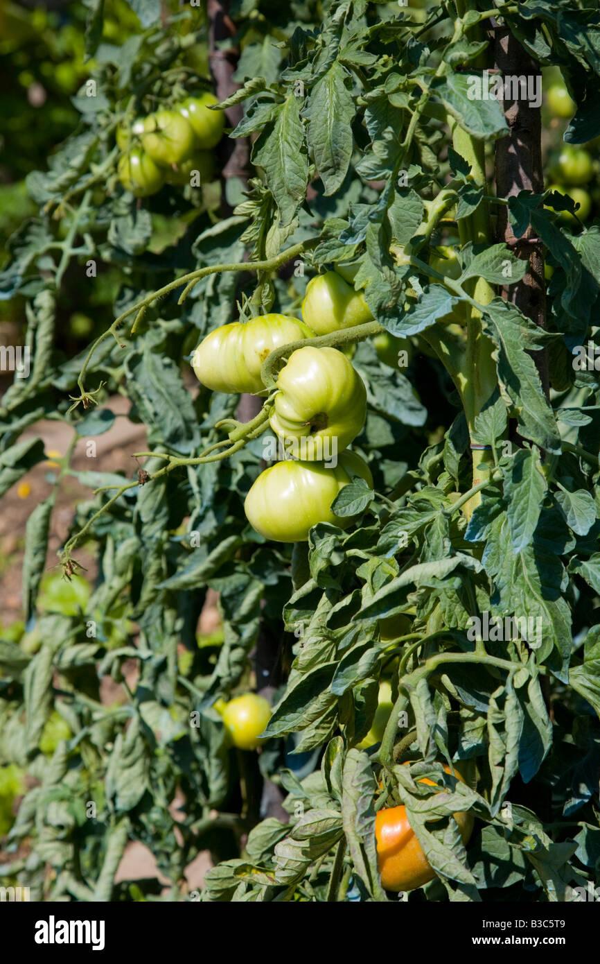Il Verde E Il Giallo Dei Pomodori Che Sono Stati Spruzzati Con Il Solfato  Di Rame E Calce