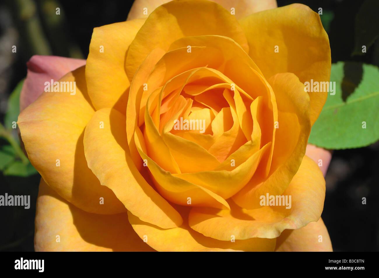 Rosa gialla a Julia Davis Park, il Giardino di Rose, il Boise, Idaho Immagini Stock