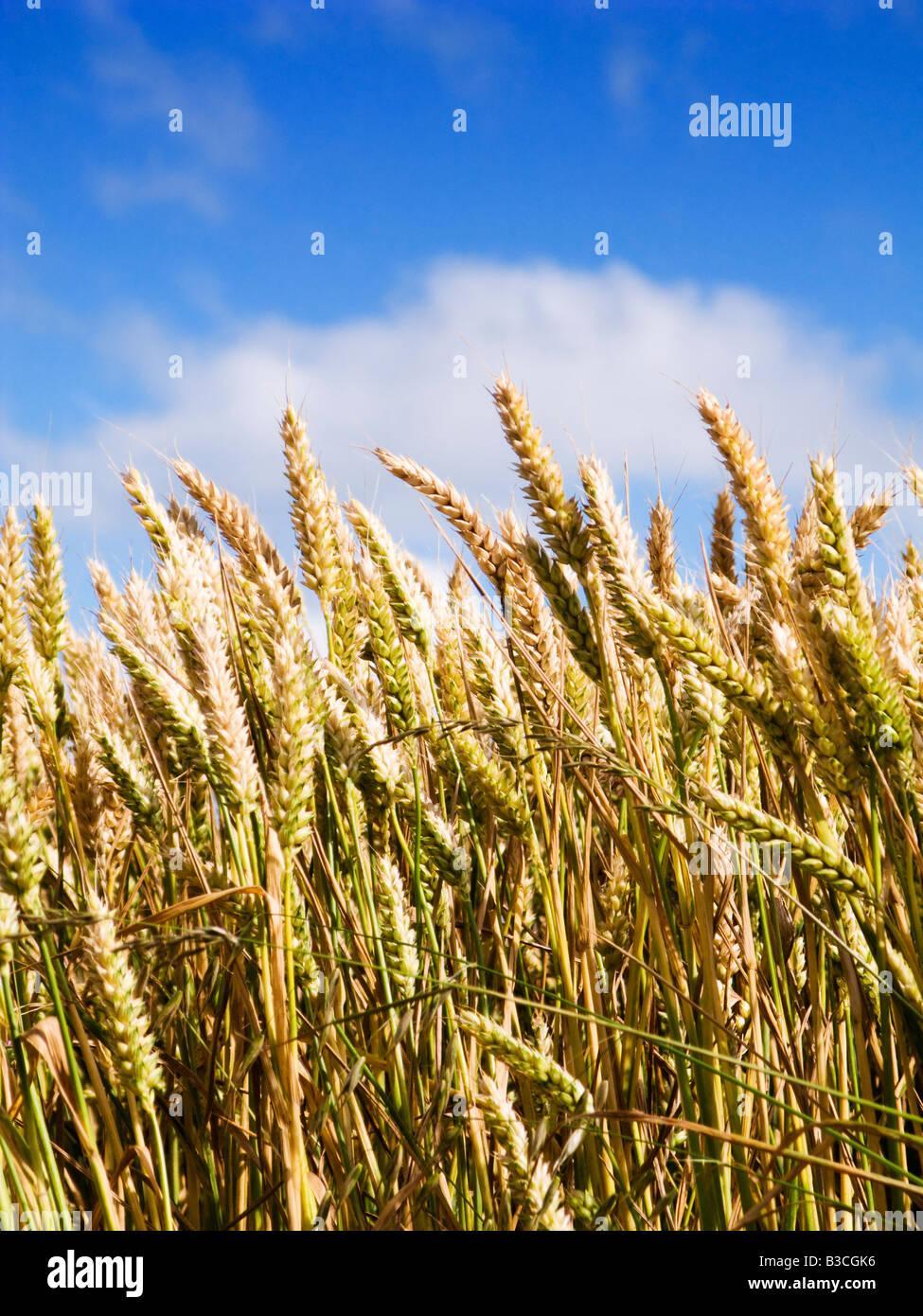 Il grano vicino fino contro un cielo blu in estate Immagini Stock