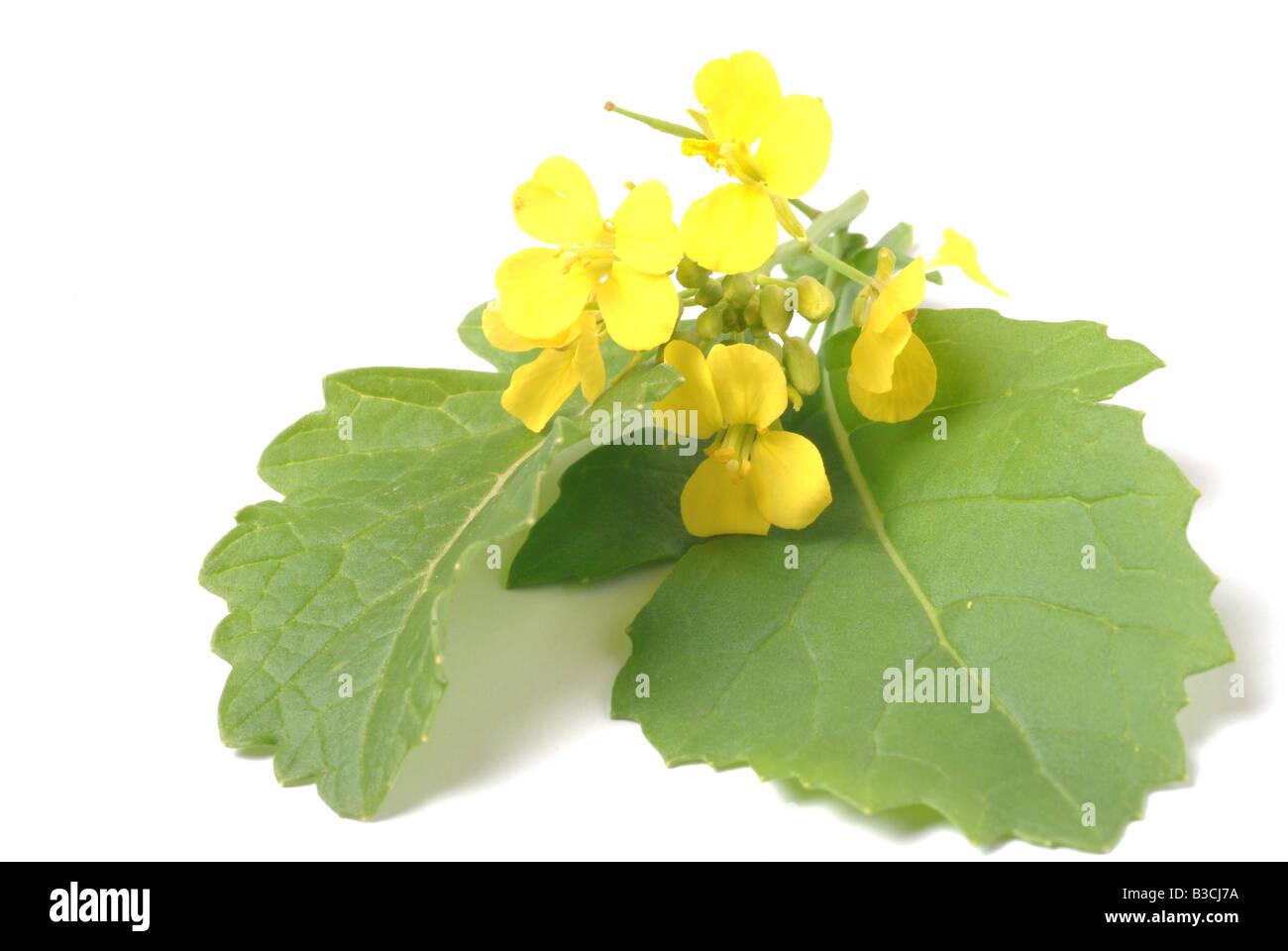 Piante medicinali e spezie senape nera Brassica nero Cavolo Senape nero Foto Stock
