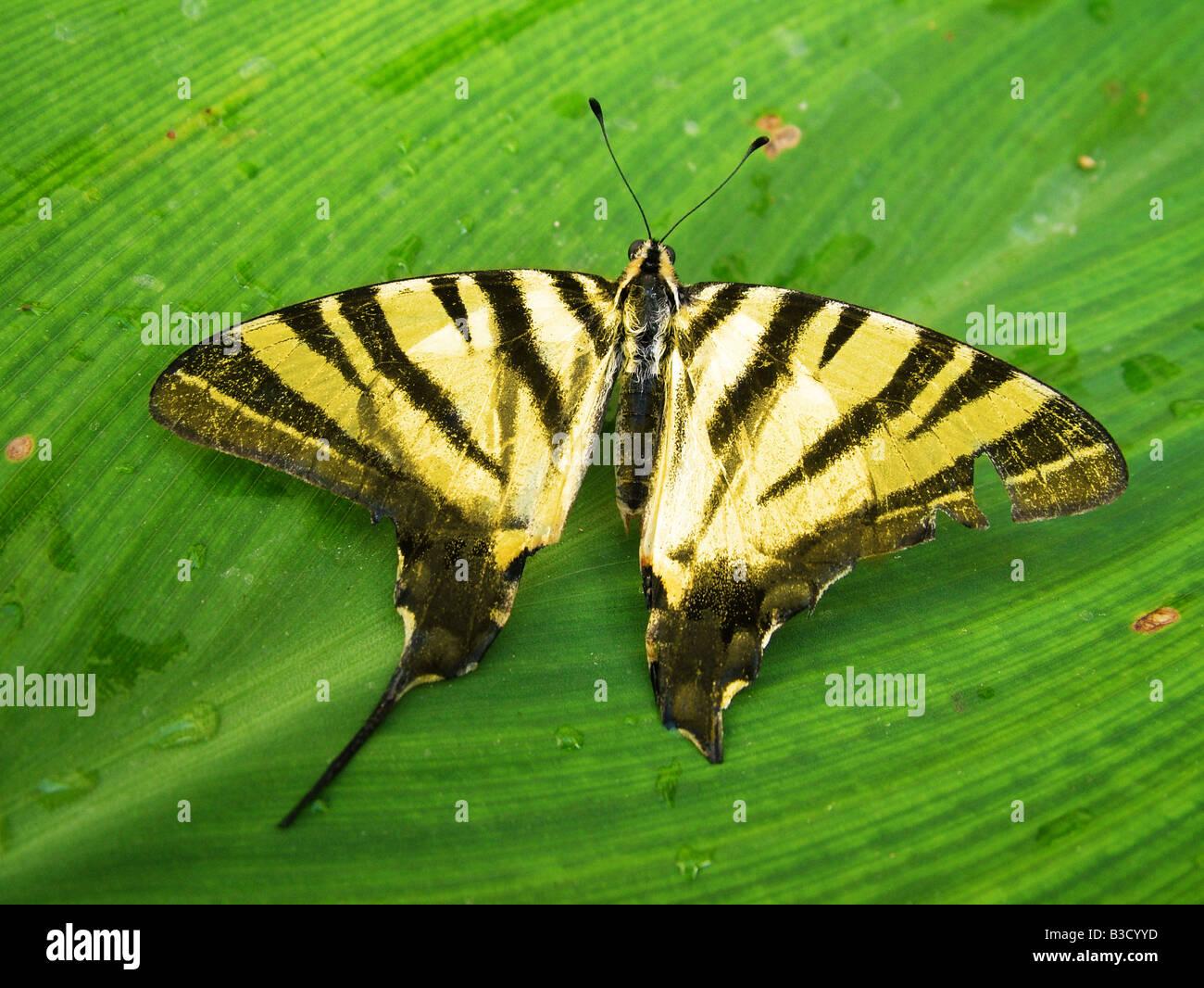 Tiger coda di rondine butterfly Foto Stock
