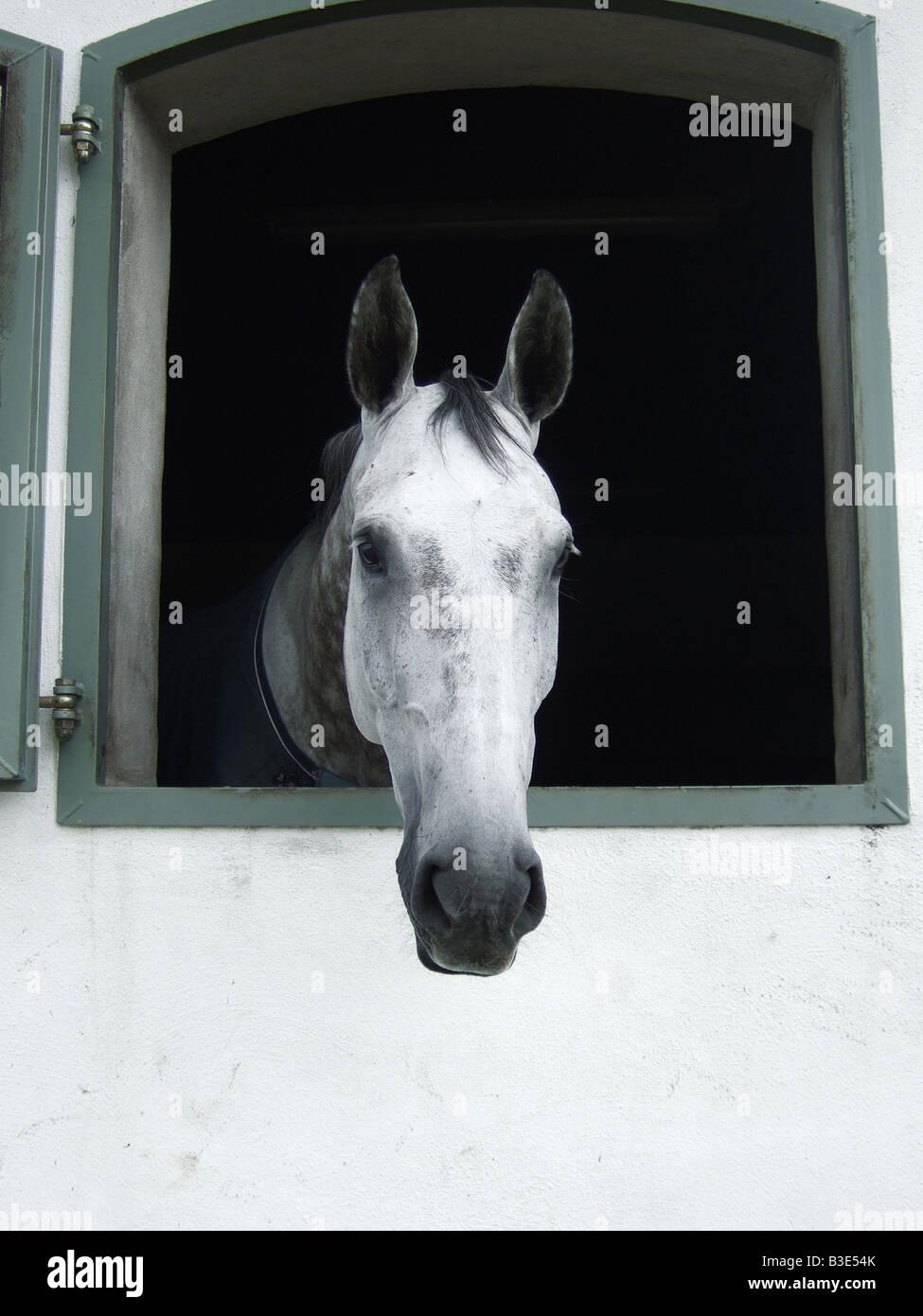 Un cavallo guardando fuori della stalla fienile finestra Immagini Stock
