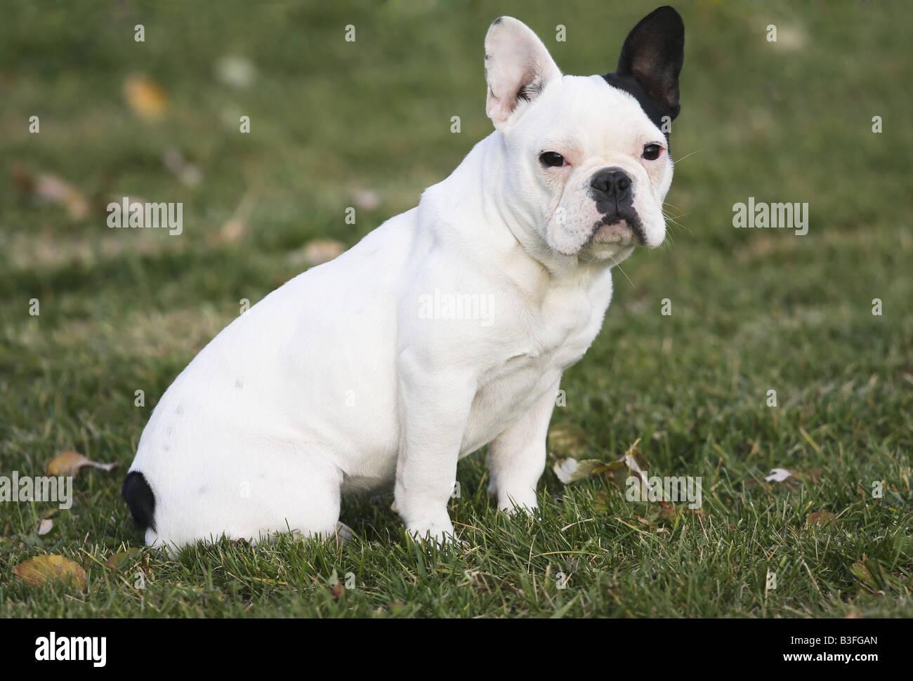French Bulldog Sitting In Grass Immagini French Bulldog Sitting In