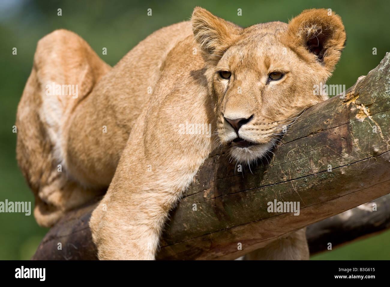 Giovani in appoggio lion Immagini Stock
