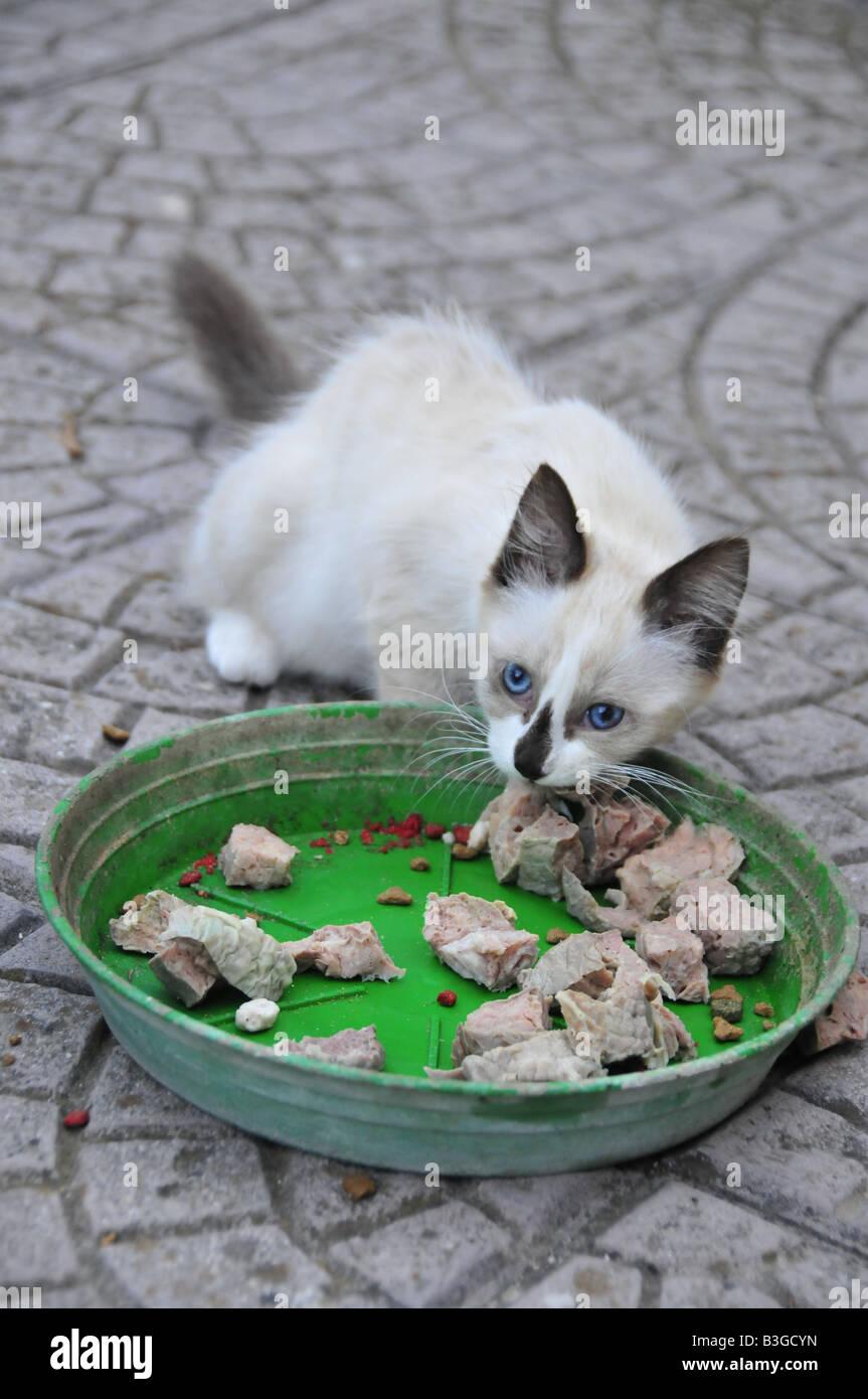 Dagli Occhi Blu Gatto Cucciolo Di Mangiare Carne Foto Immagine