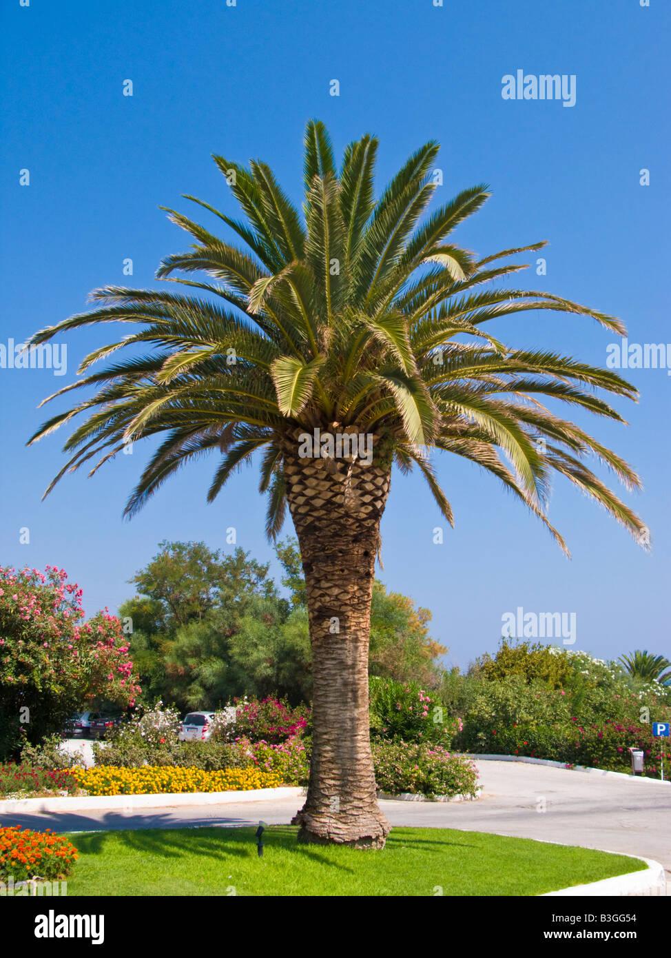 Palm Tree Creta Grecia Immagini Stock