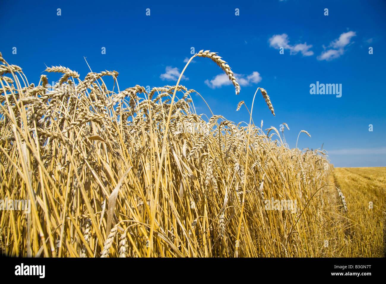 Campo di grano, Polonia Immagini Stock