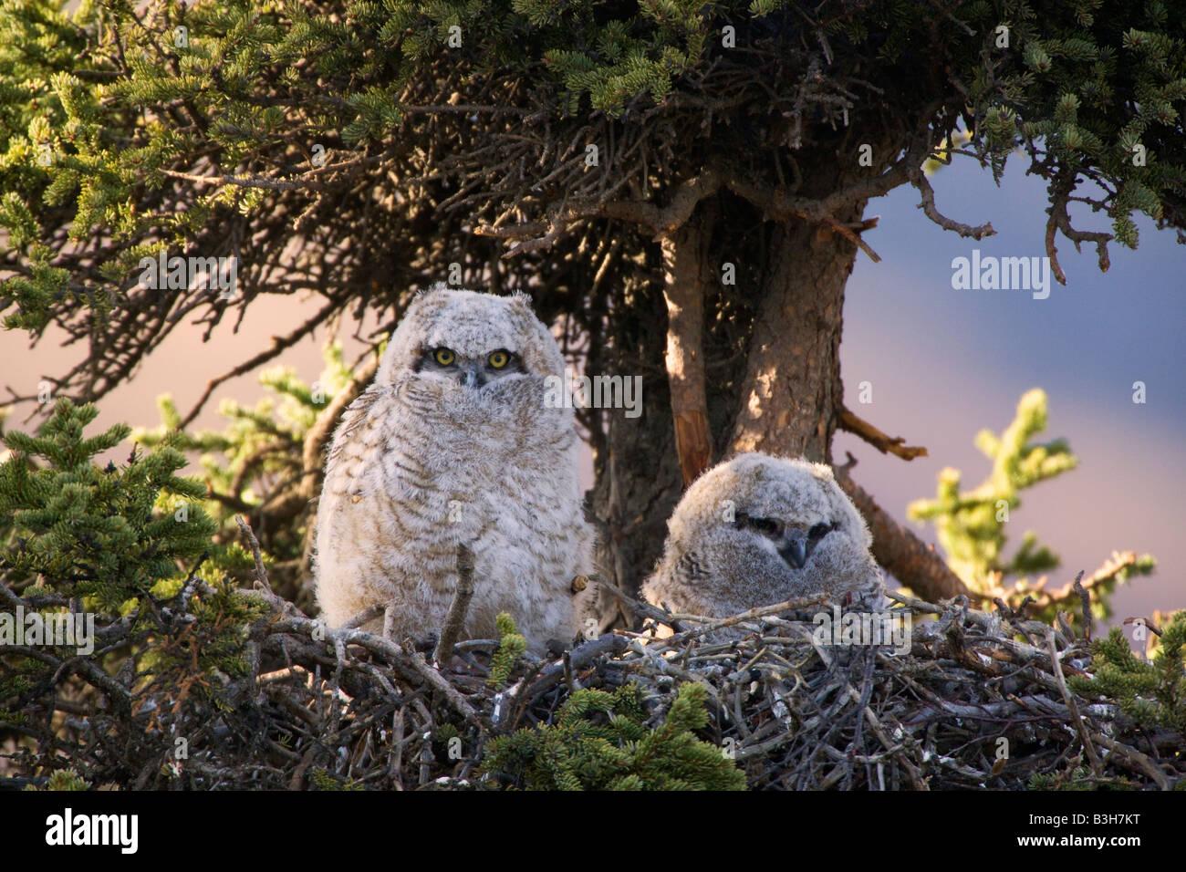 Grande Gufo cornuto nest Parco Nazionale di Denali Alaska Immagini Stock