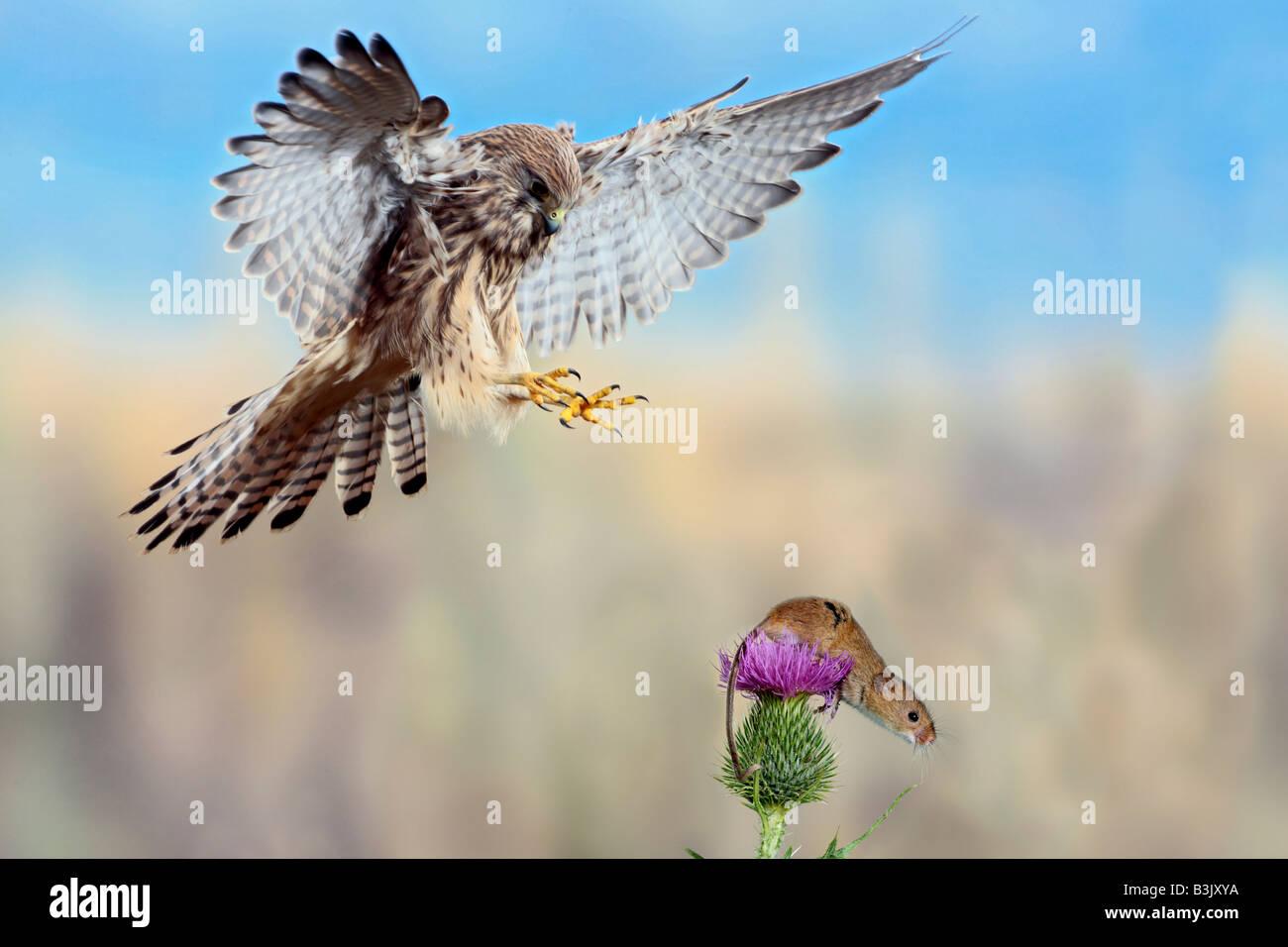 Il Gheppio Falco tinnunculus circa prendere Harvest mouse Potton Bedfordshire Immagini Stock