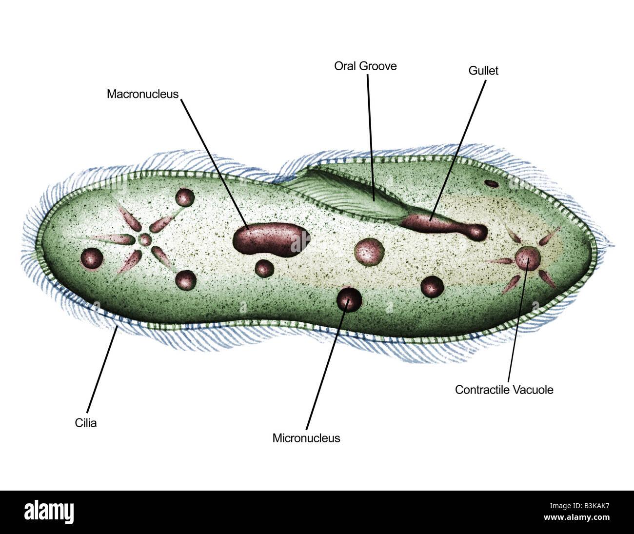 Lo schema illustrato di paramecio (paramecio sp.) 1000X Immagini Stock