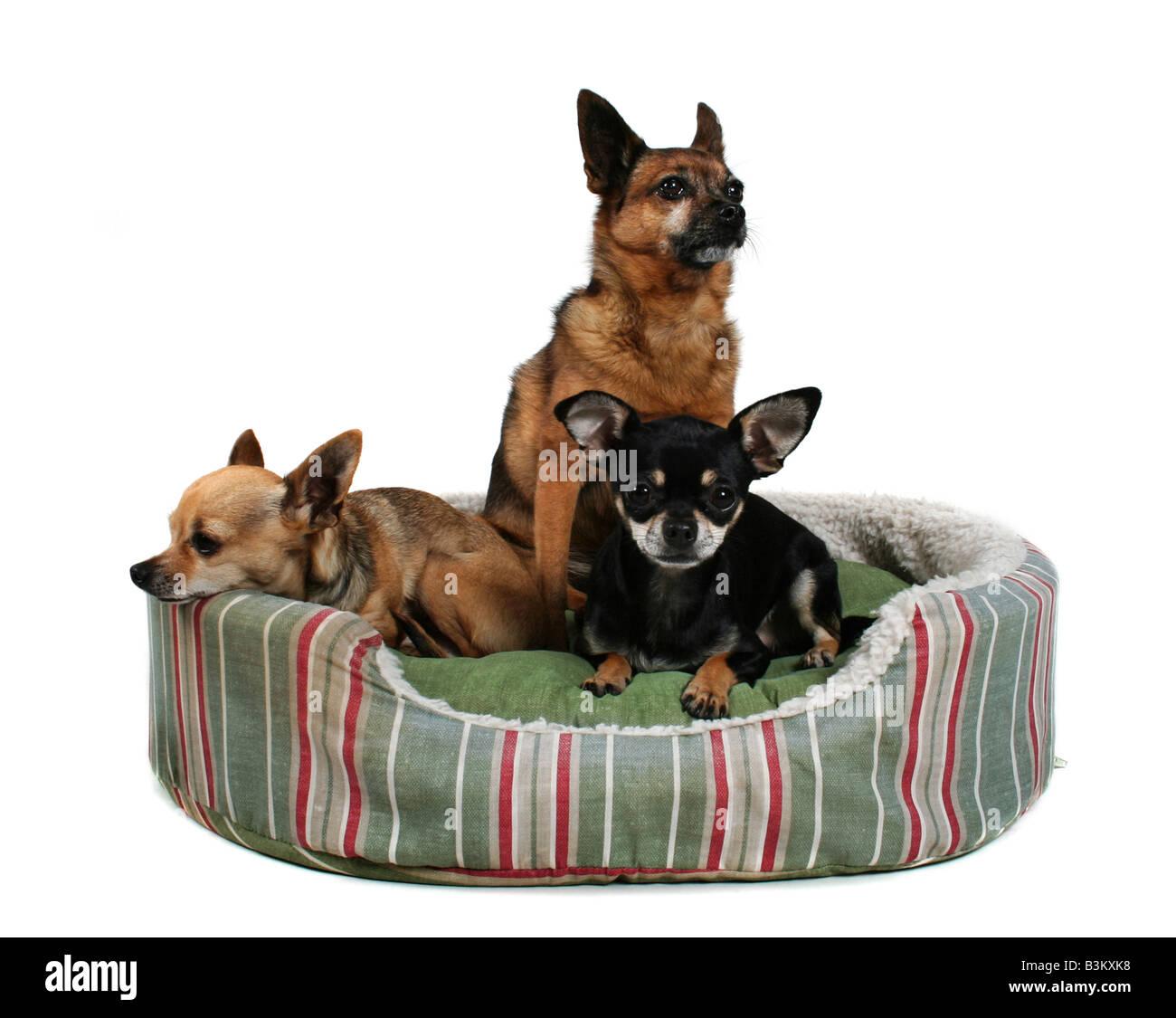 Tre cani condividono un piccolo lettino pet Immagini Stock