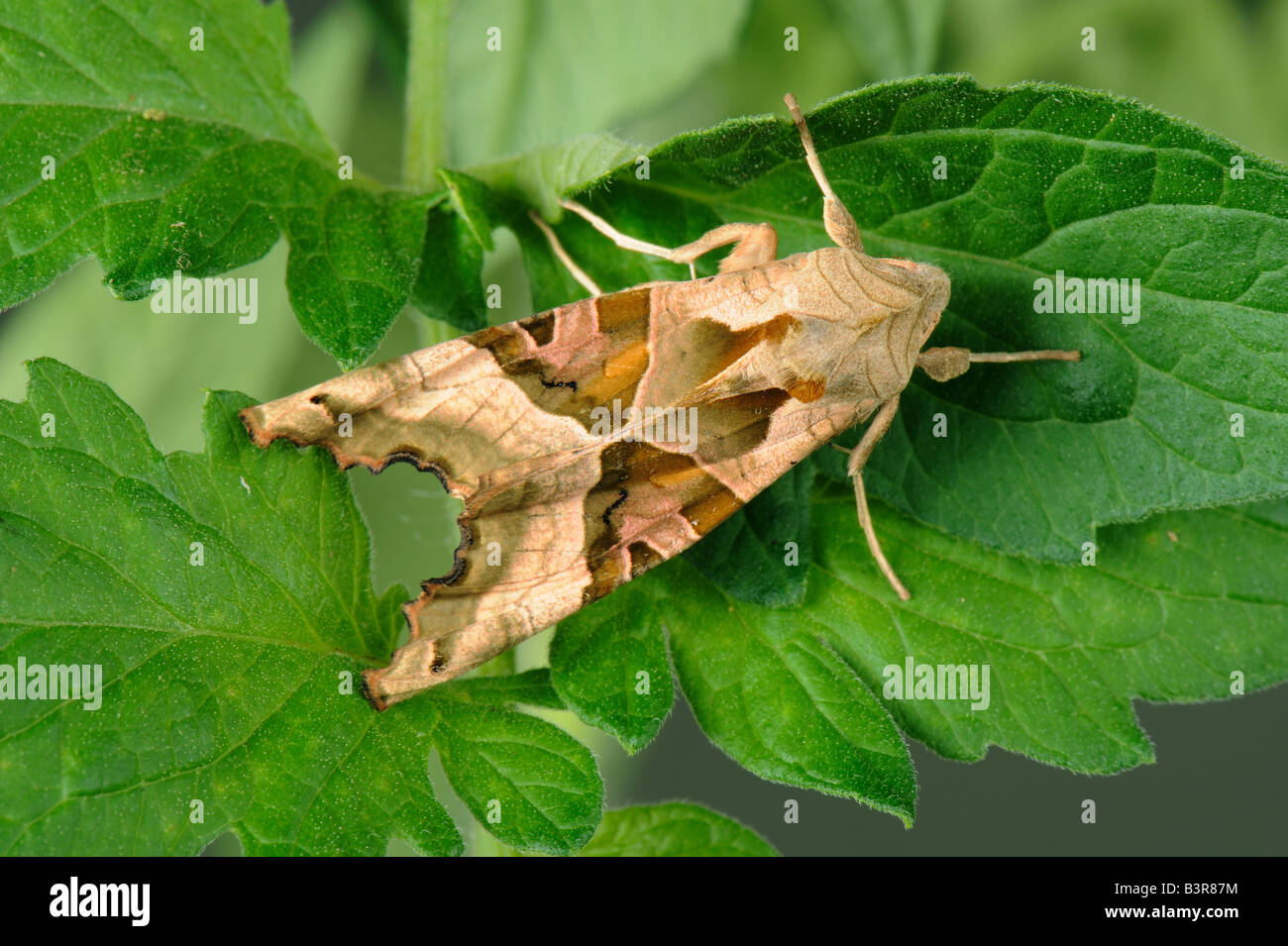 Sfumature di angolo Phlogophora meticulosa falena su foglie di pomodoro Immagini Stock