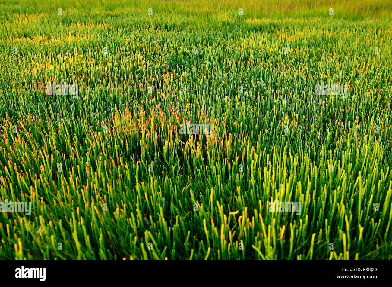 Colorata salicornia succulenta comune alle barene e ambienti costieri Cape Cod MA Immagini Stock
