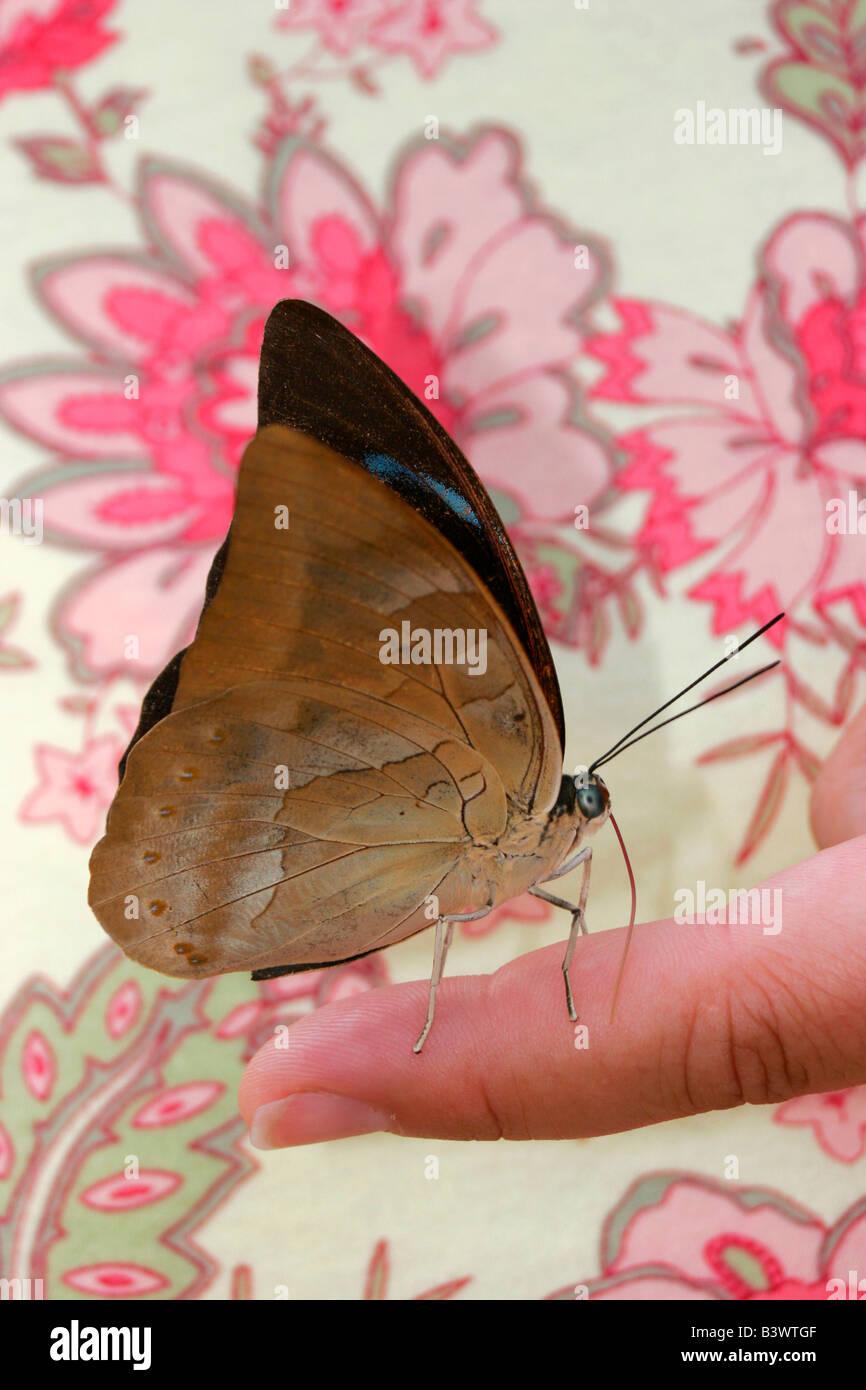 Tropical Onda Blu farfalla (Myscelia cyaniris) su una persona del dito Immagini Stock