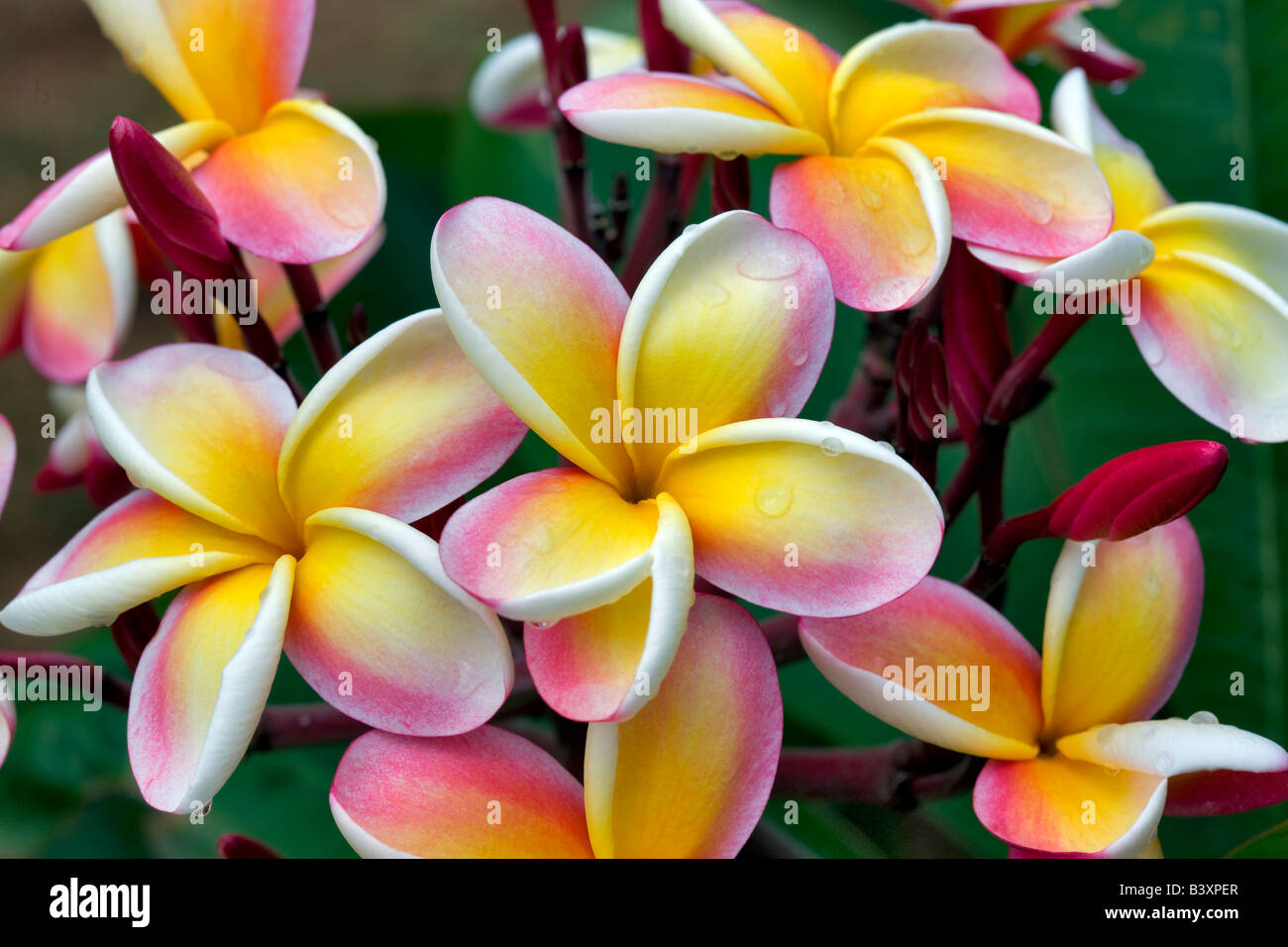 Plumeria o Frangipani bloom con gocce di pioggia Kauai Hawaii Immagini Stock