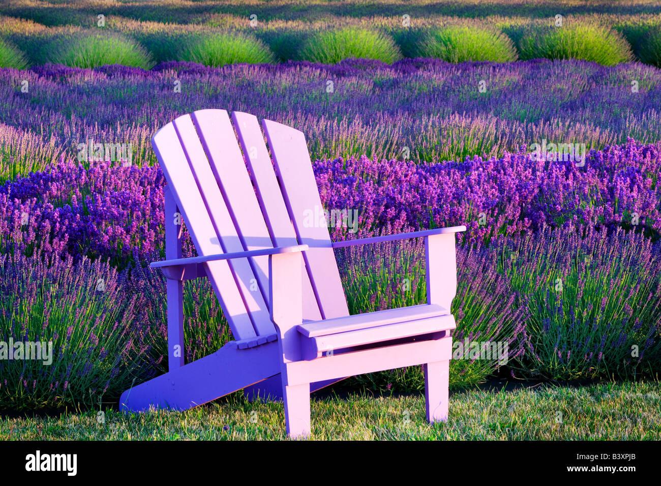 Sedia in un campo di lavanda Angeli Fattoria di Lavanda Washington Immagini Stock