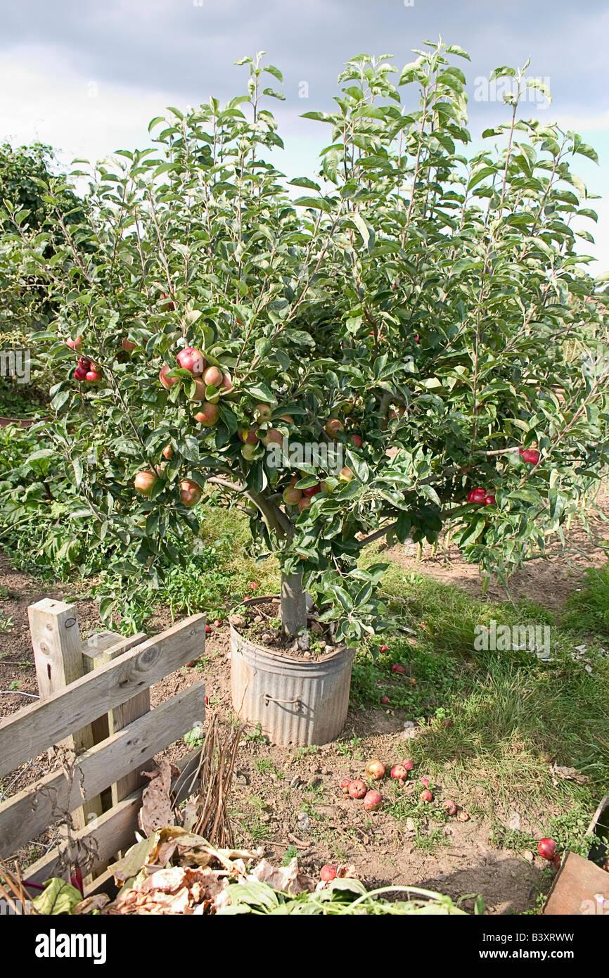 Albero della mela sul riparto, Faversham Kent Immagini Stock